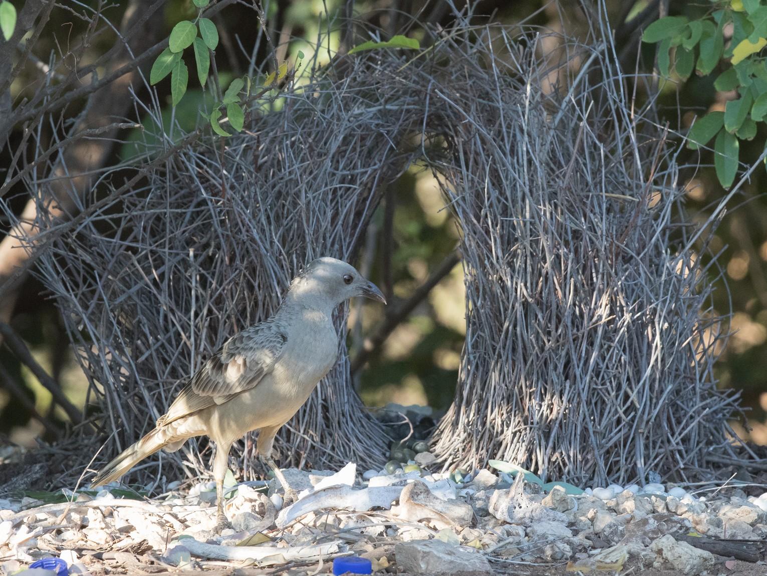 Great Bowerbird - Sonja Ross