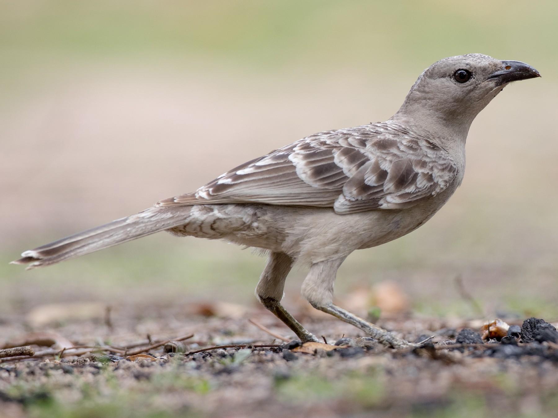 Great Bowerbird - Ian Davies