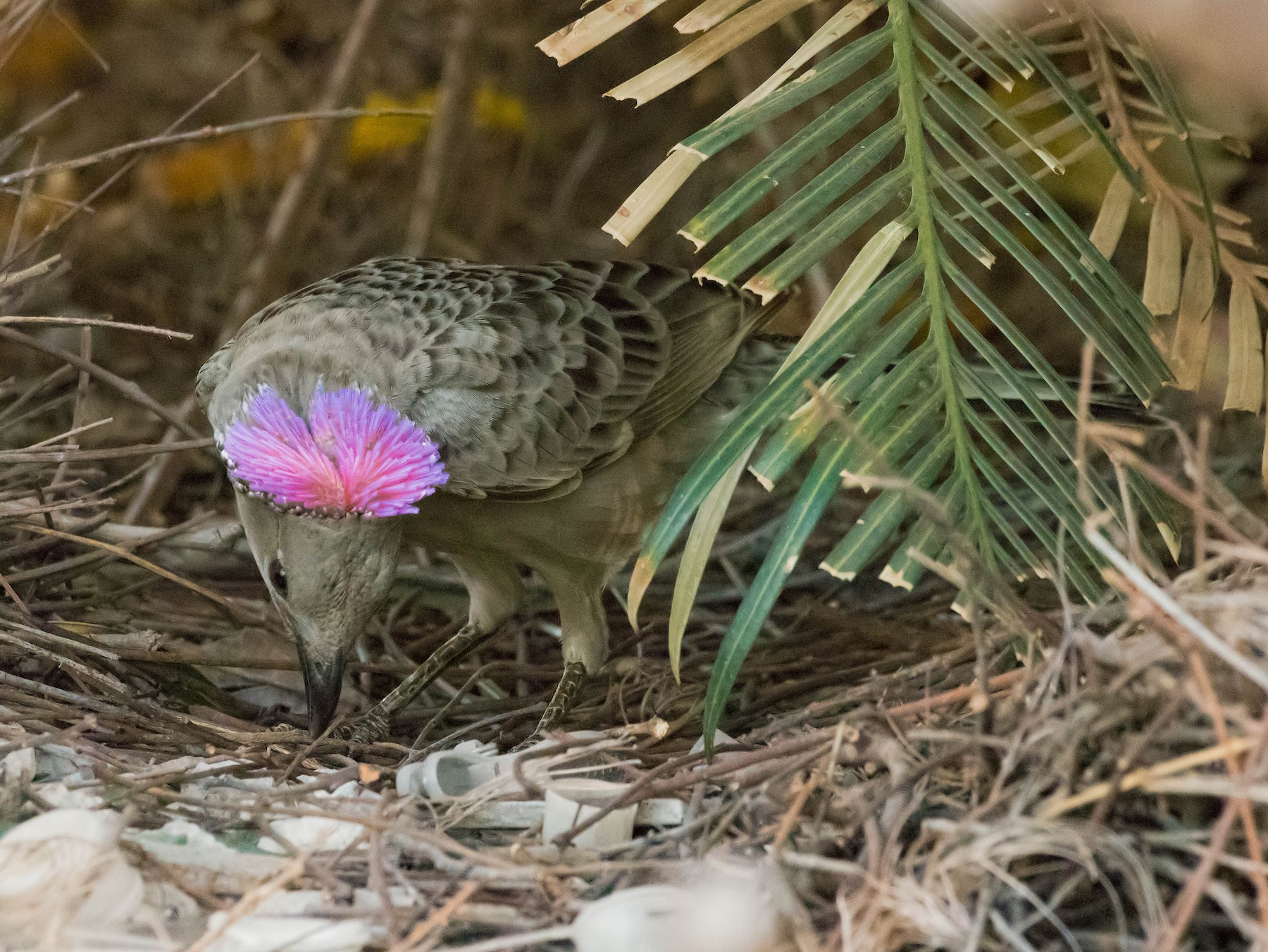 Great Bowerbird - Terence Alexander