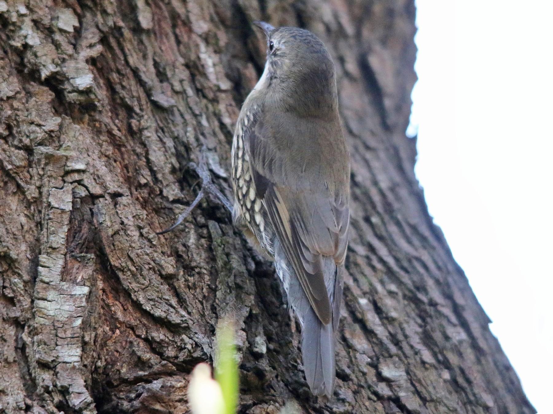 White-throated Treecreeper - Alan Atkinson