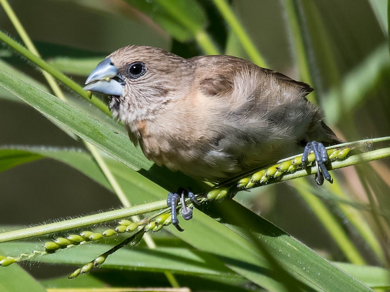 Chestnut-breasted Munia - Terence Alexander