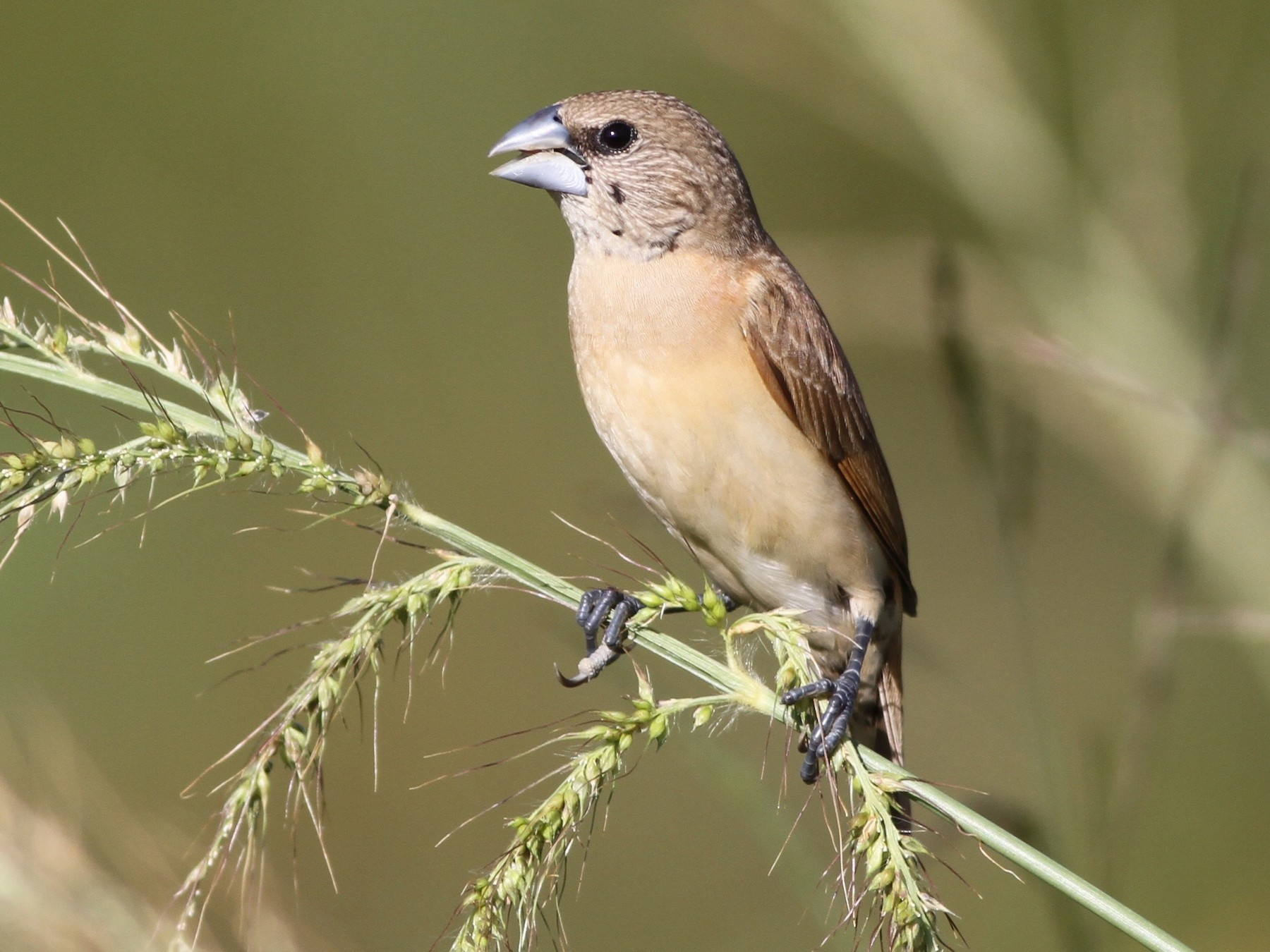 Chestnut-breasted Munia - Chris Wiley