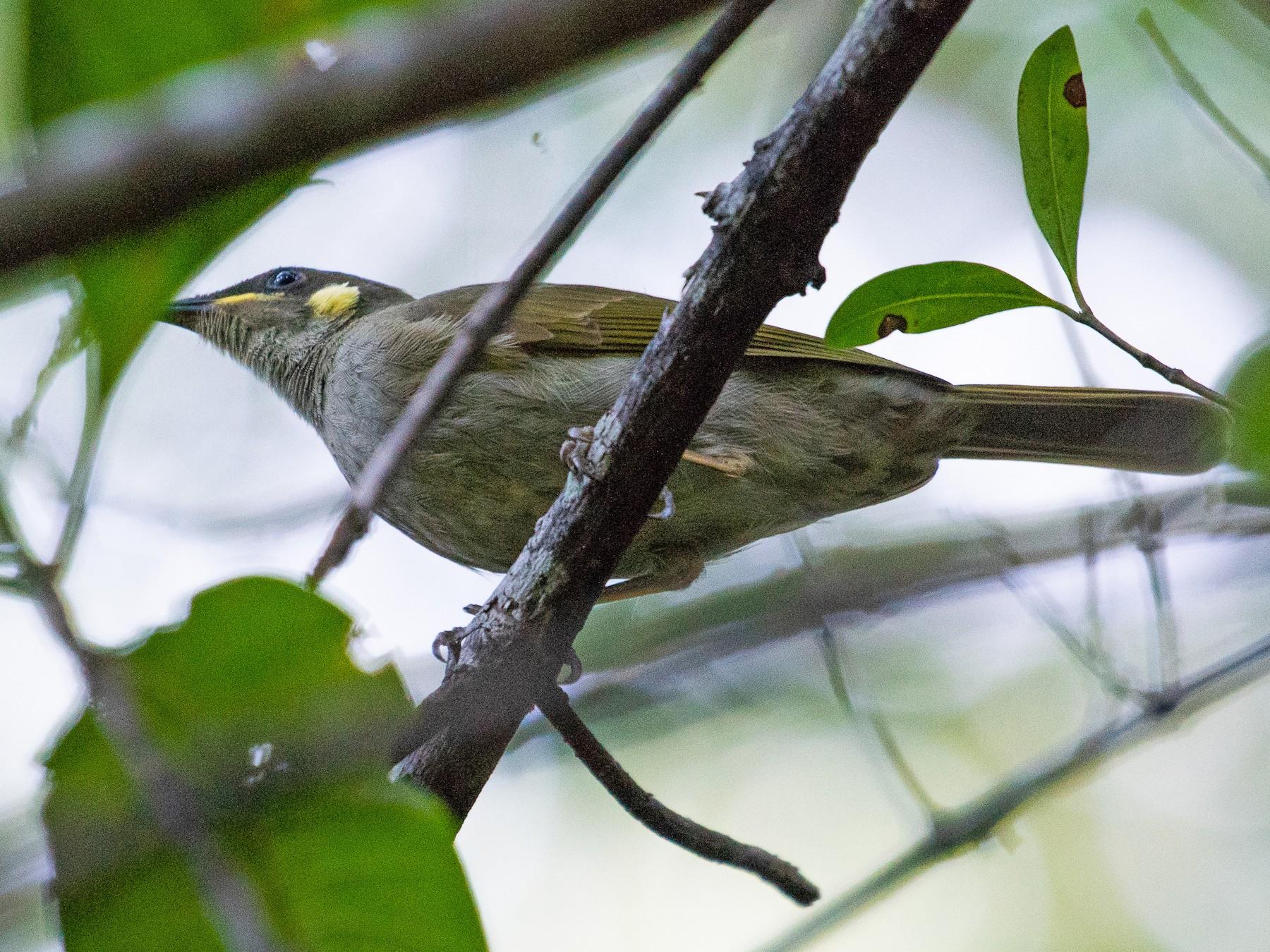 Yellow-spotted Honeyeater - Adam Jackson