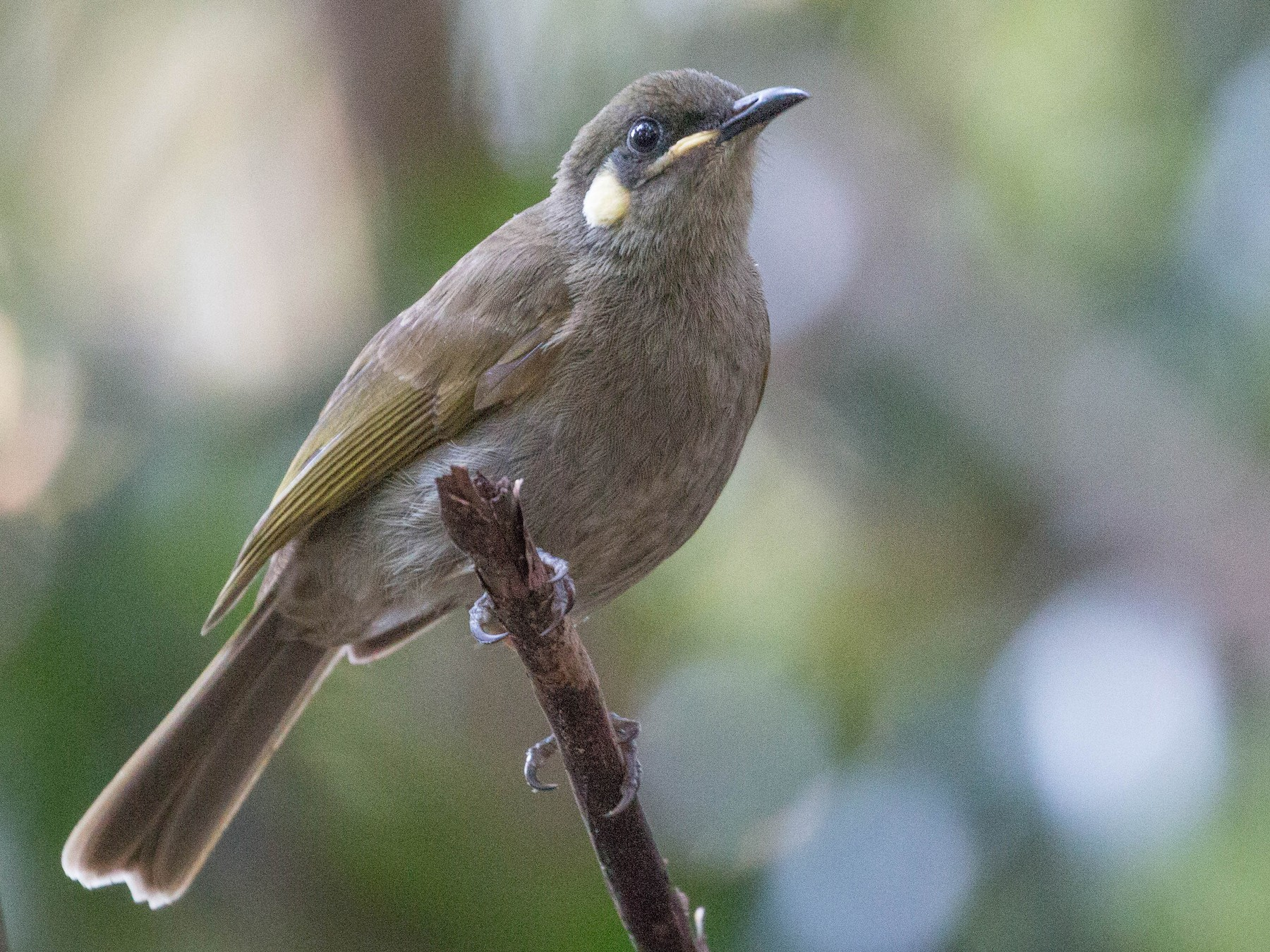 Yellow-spotted Honeyeater - Tanner Martin