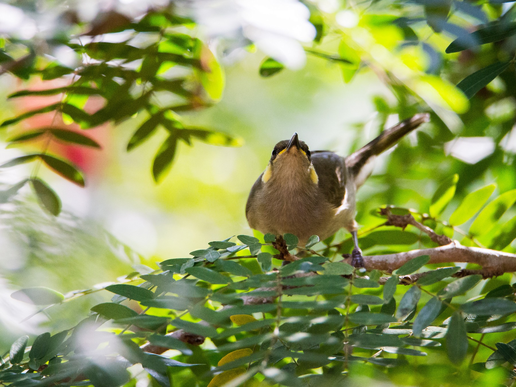 Yellow-spotted Honeyeater - Jan Lile