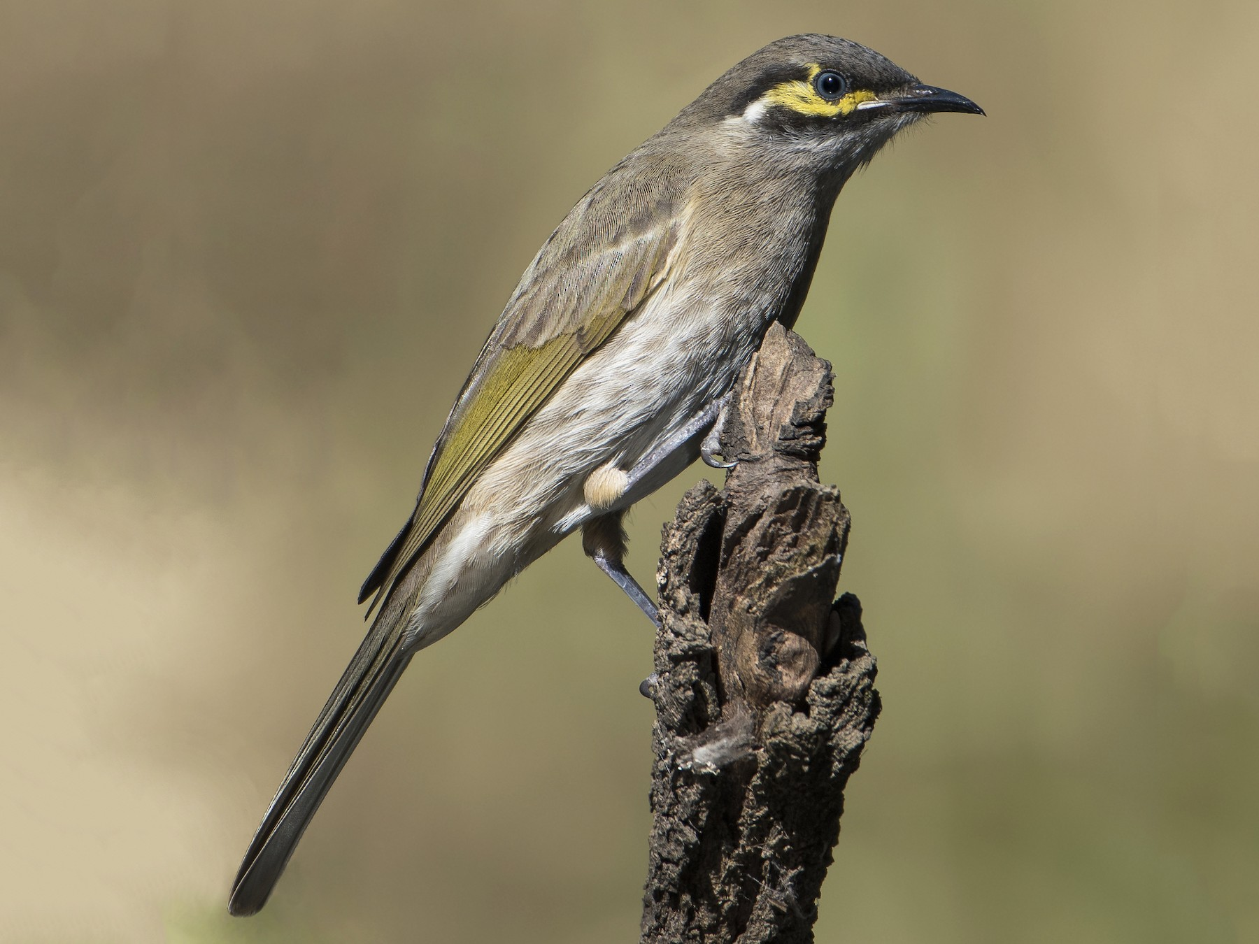 Yellow-faced Honeyeater - Lucas Brook