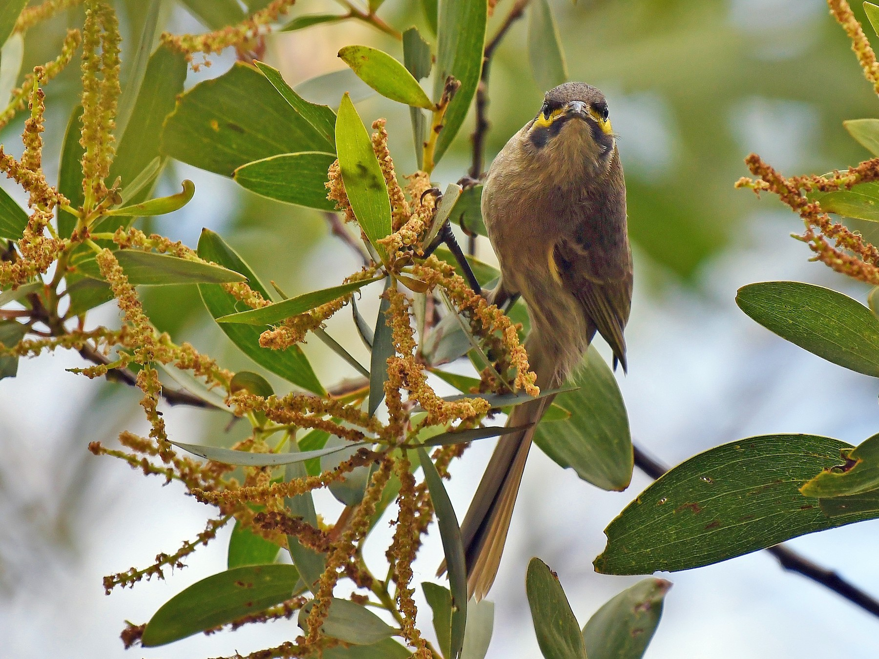 Yellow-faced Honeyeater - Terence Alexander