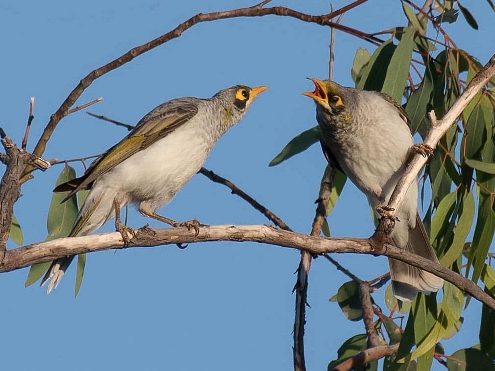 Yellow-throated Miner - Terence Alexander