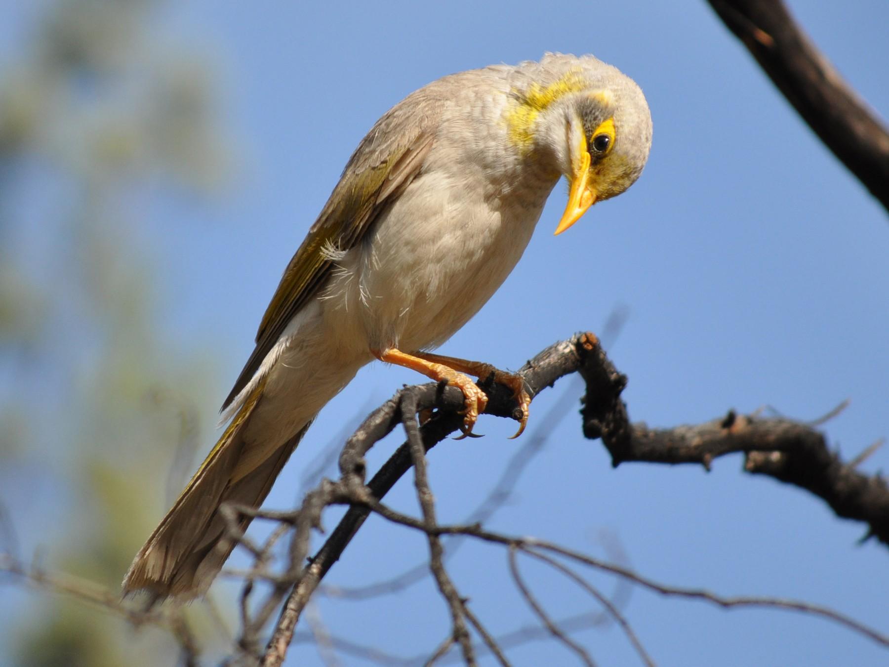 Yellow-throated Miner - Holger Woyt