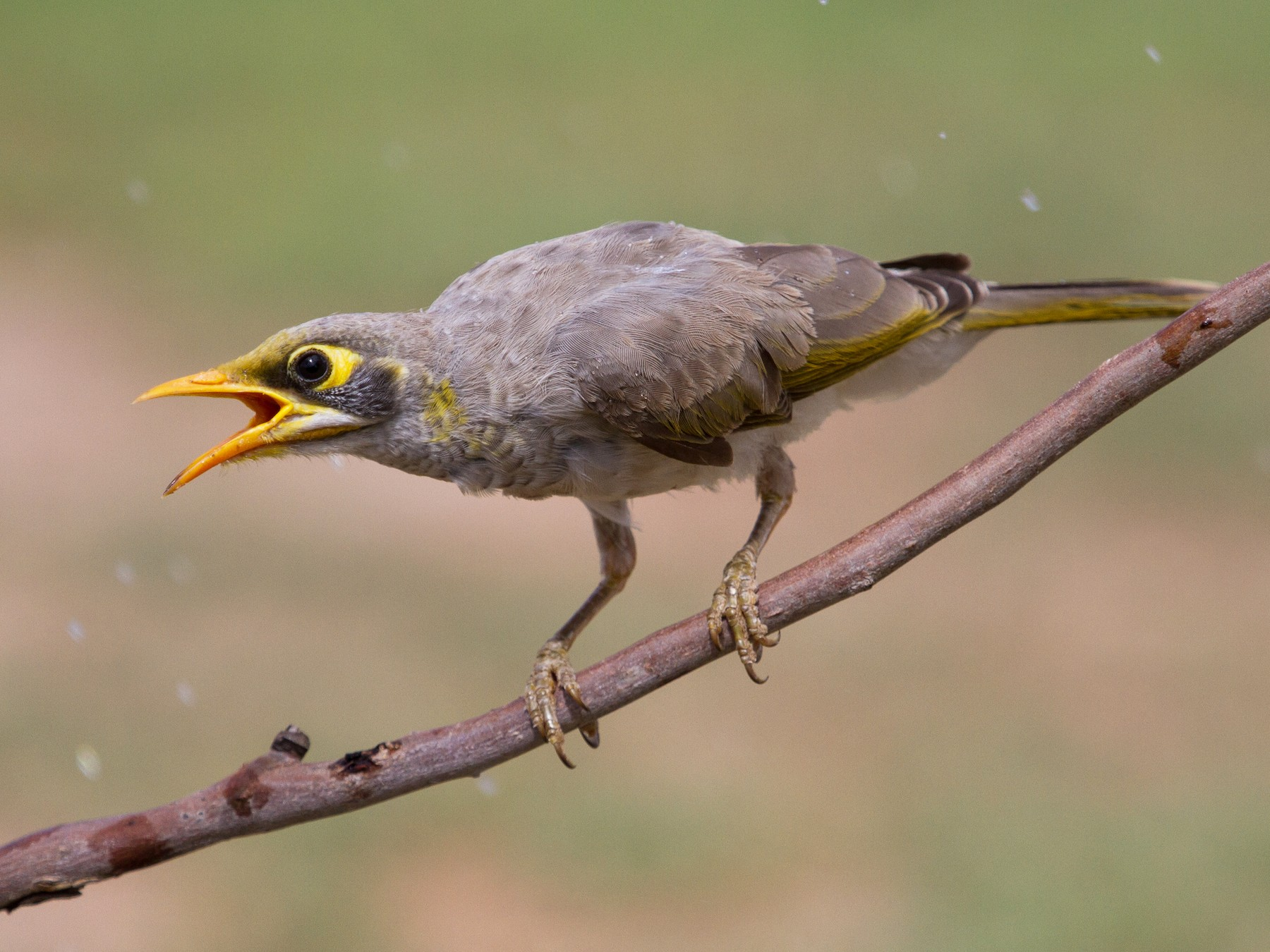 Yellow-throated Miner - Ric Else