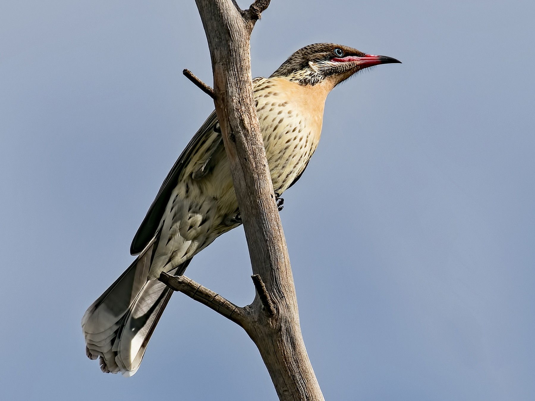 Spiny-cheeked Honeyeater - Julie Clark