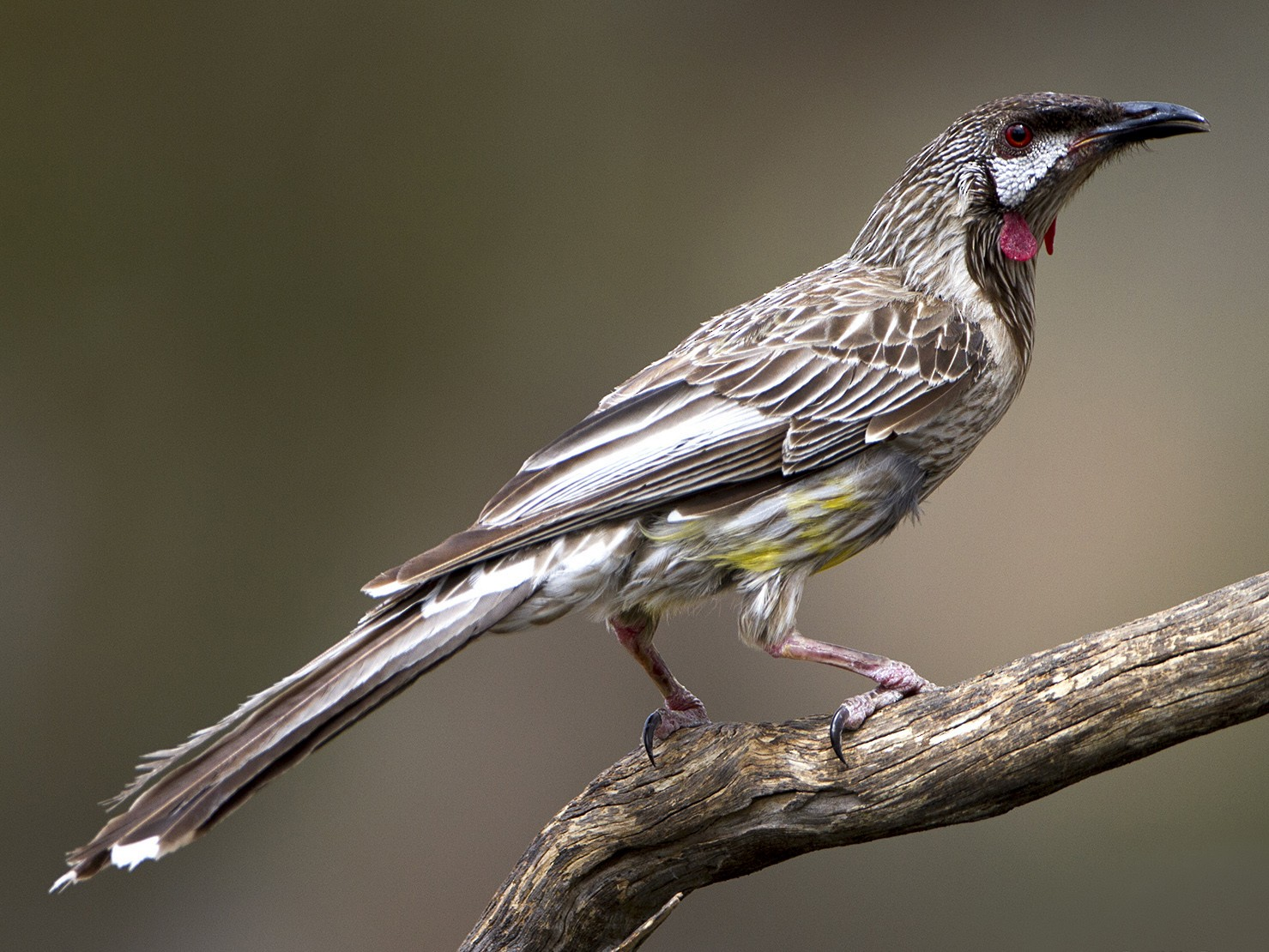 Red Wattlebird - Stephen Murray