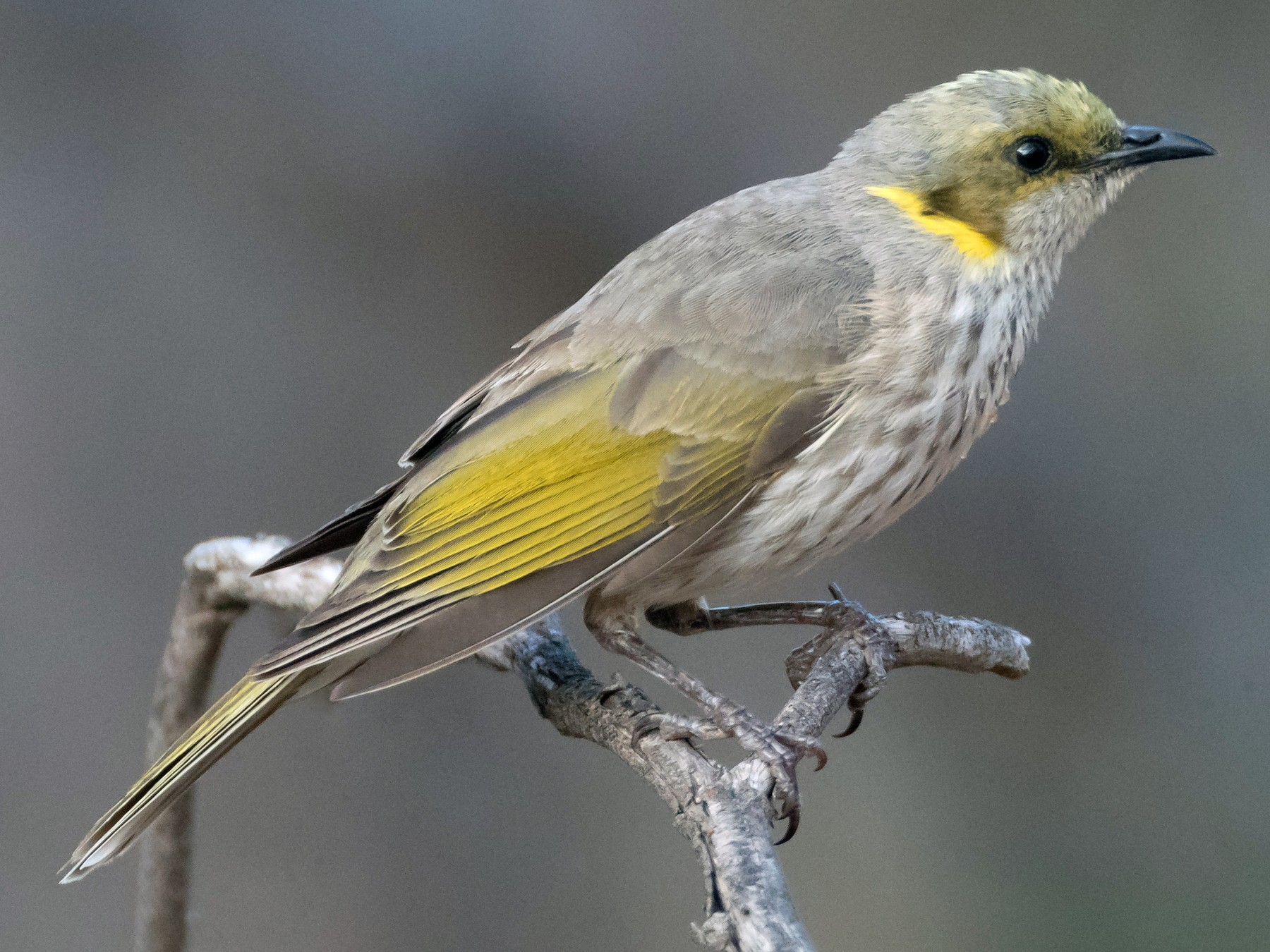 Yellow-plumed Honeyeater - Brendan Klick