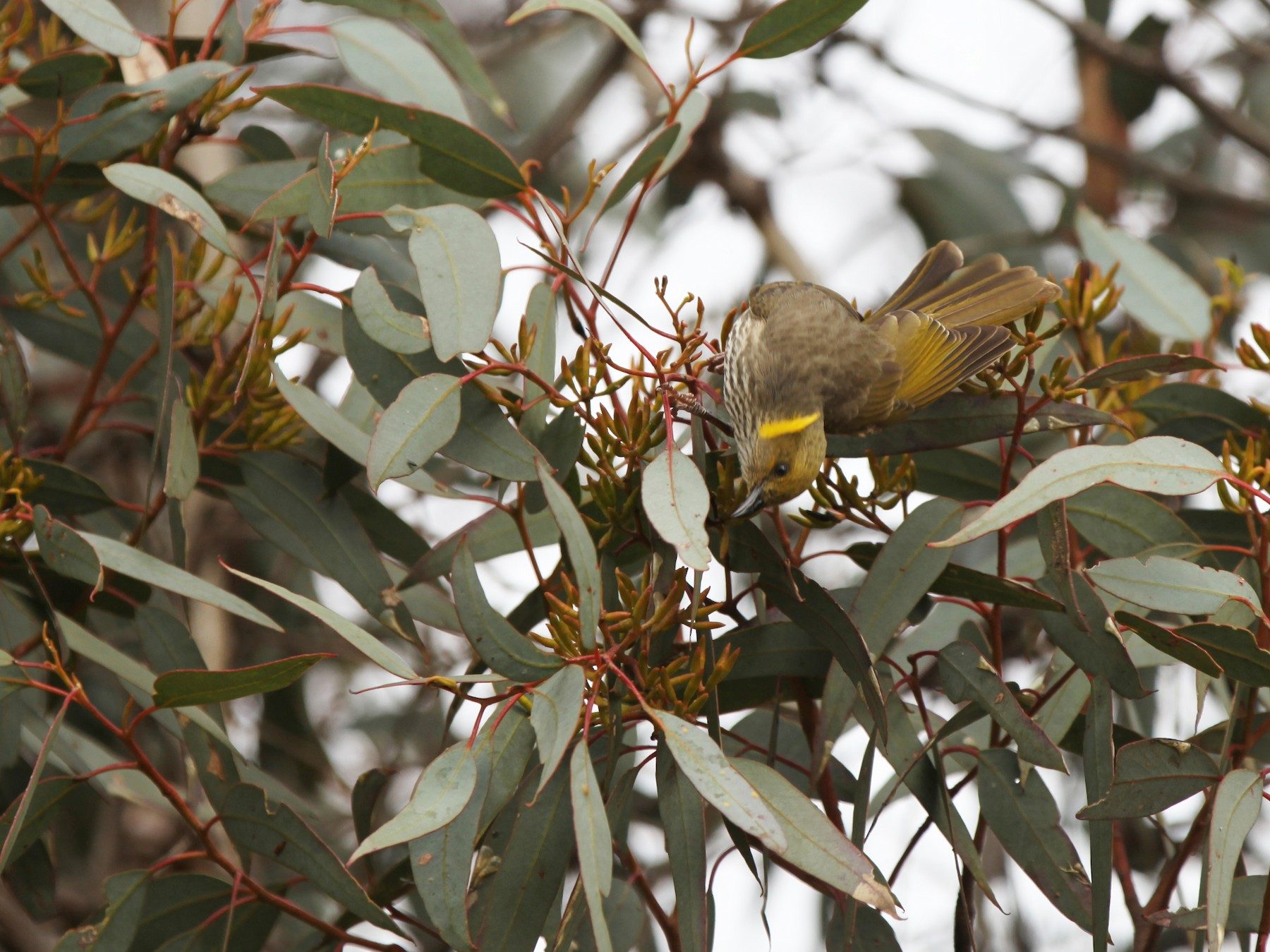 Yellow-plumed Honeyeater - Cheryl McIntyre
