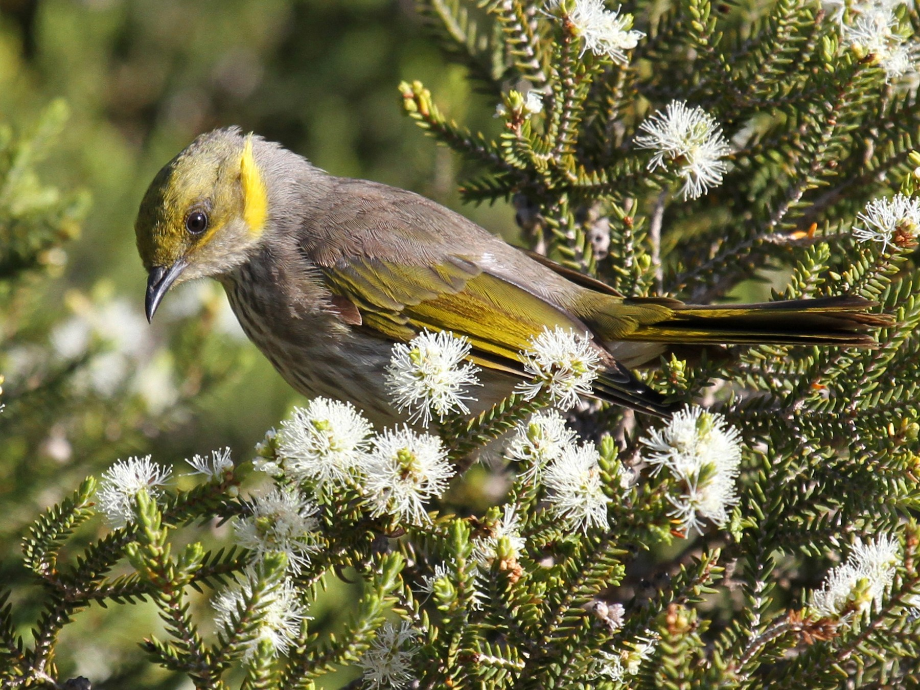 Yellow-plumed Honeyeater - Margot Oorebeek