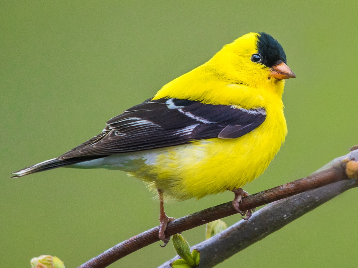 American Goldfinch - Adam Jackson