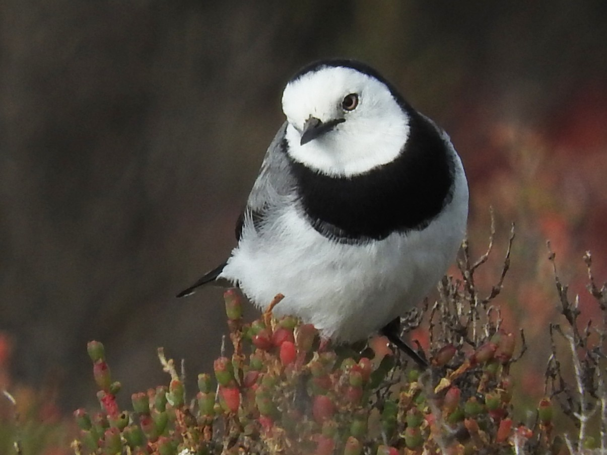 White-fronted Chat - George Vaughan