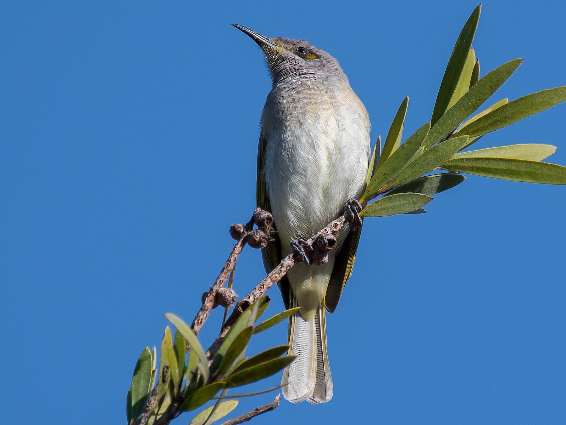 Brown Honeyeater - Terence Alexander