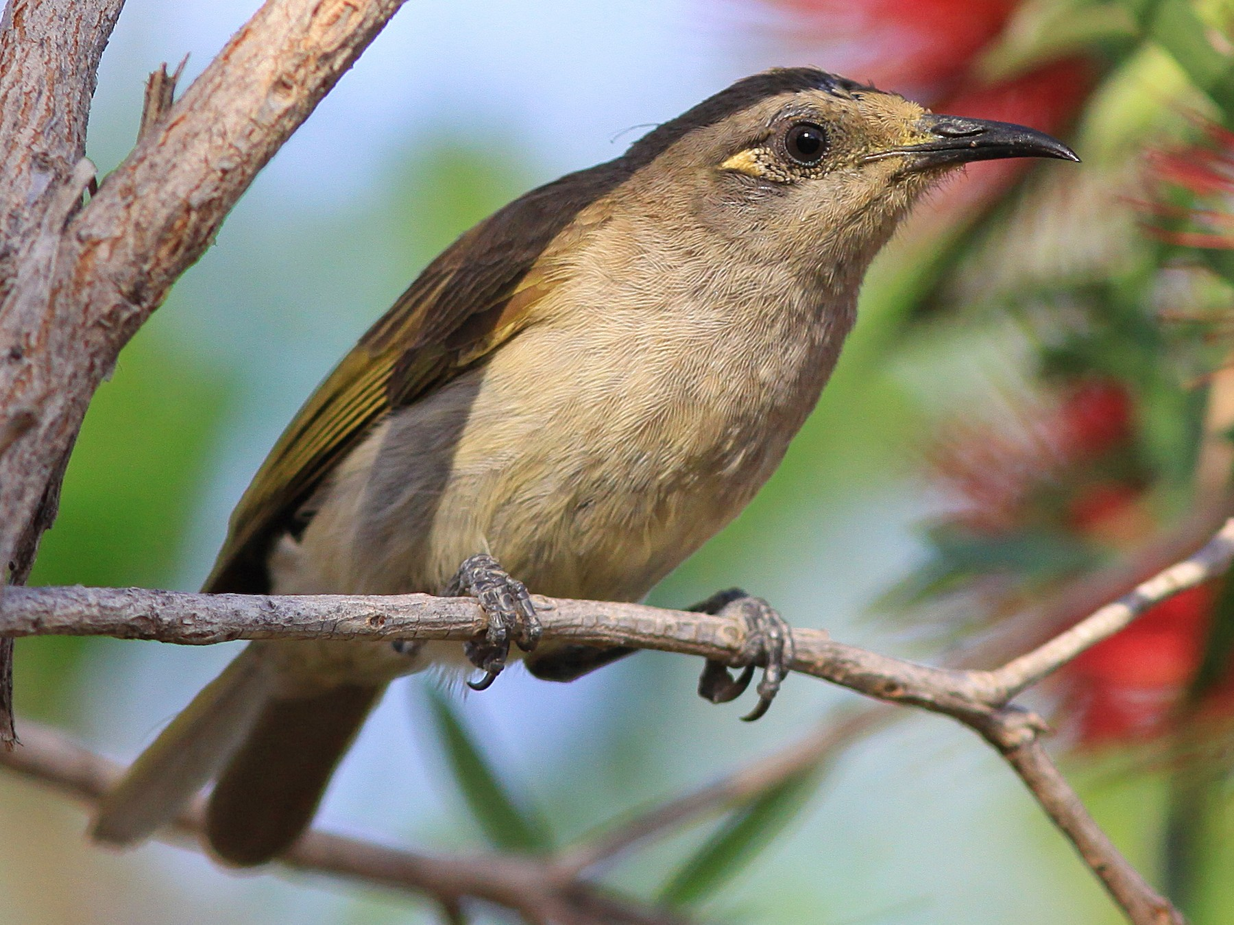 Brown Honeyeater - Rufus Wareham