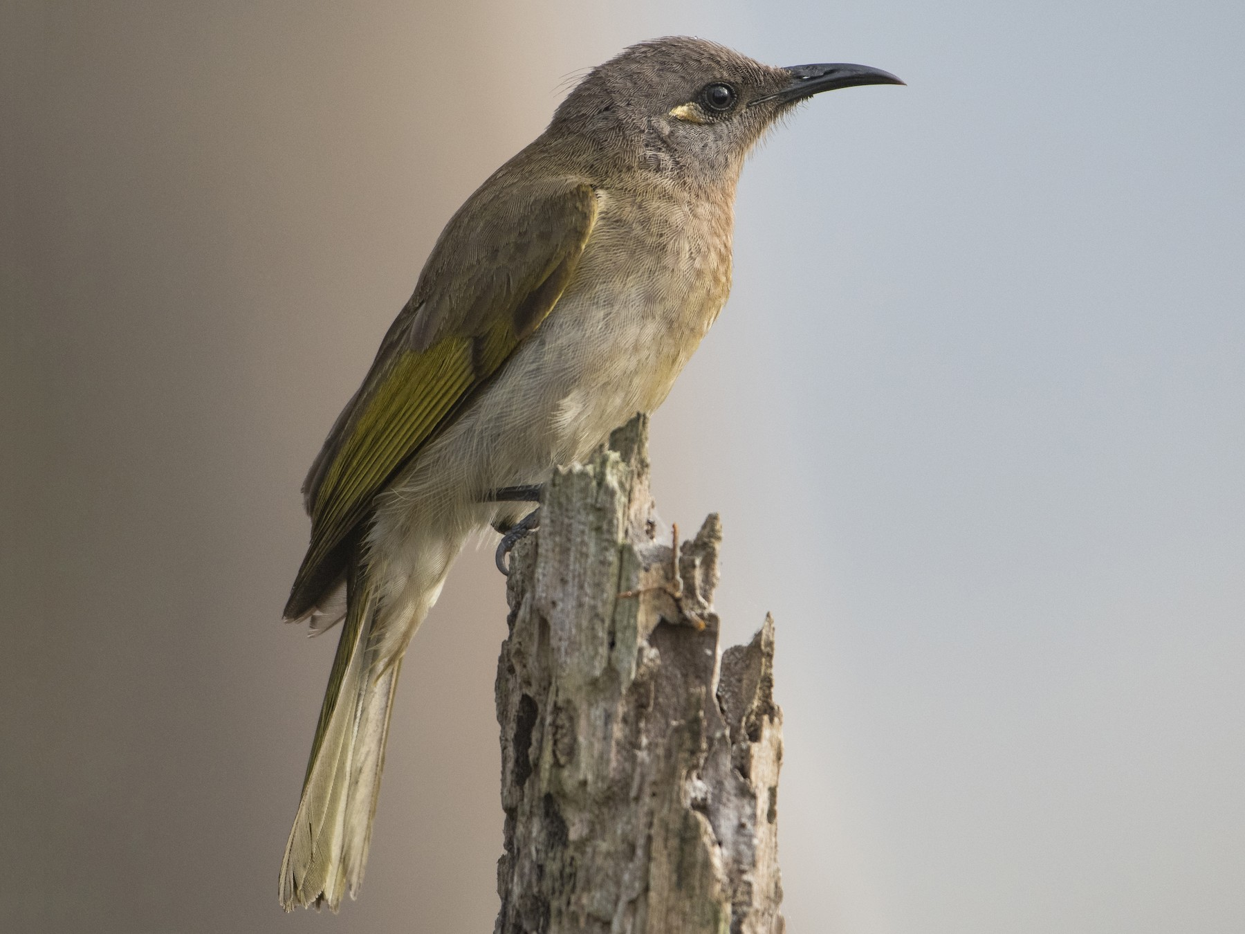 Brown Honeyeater - Lucas Brook