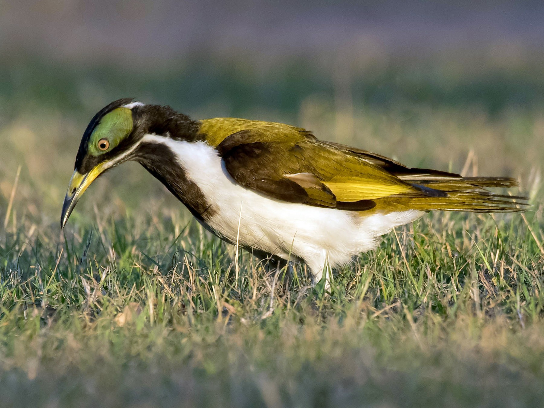 Blue-faced Honeyeater - Terence Alexander