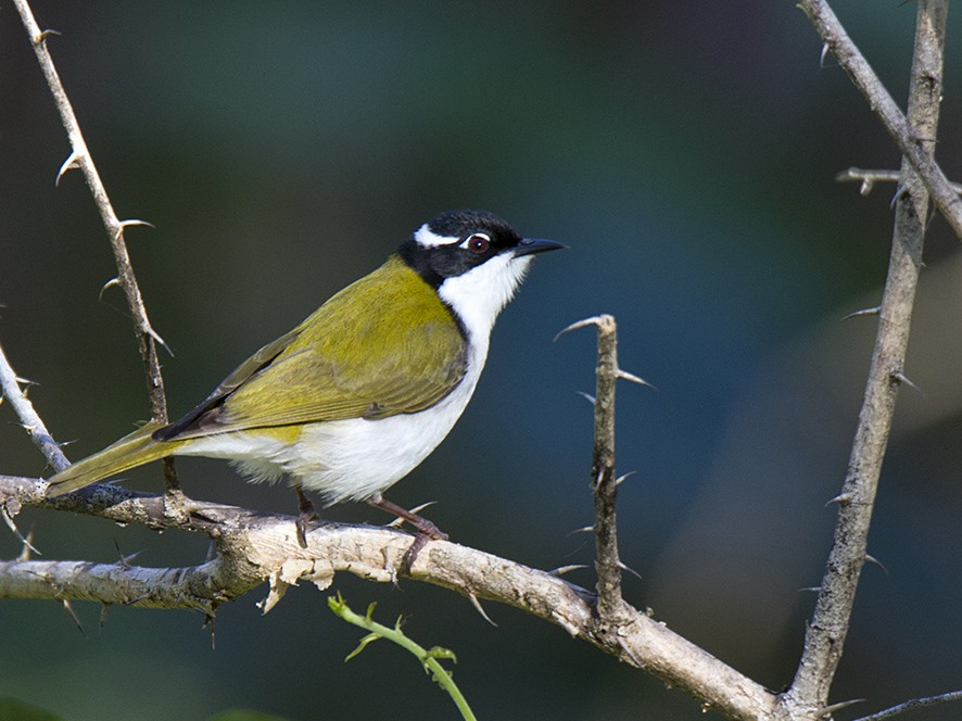 White-throated Honeyeater - Stephen Murray
