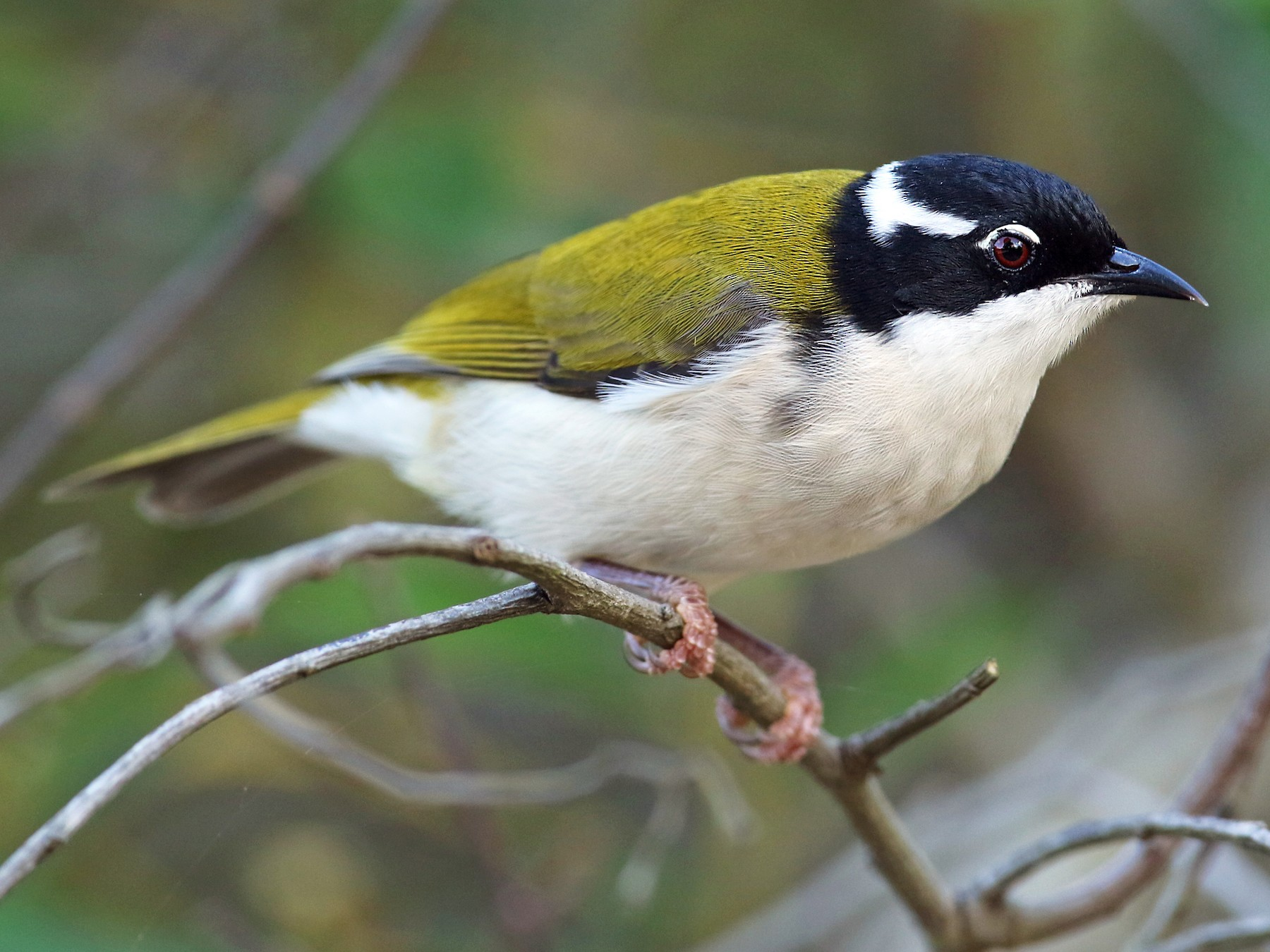 White-throated Honeyeater - Luke Seitz