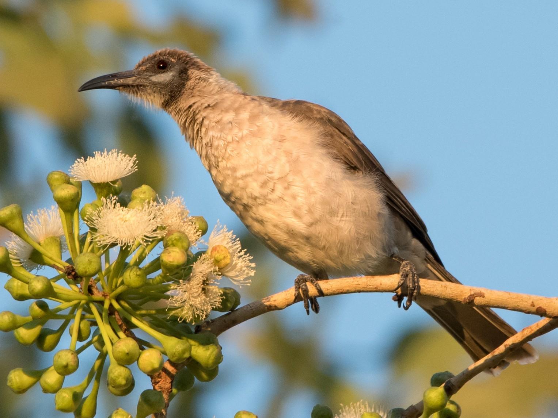 Little Friarbird - Hayley Alexander