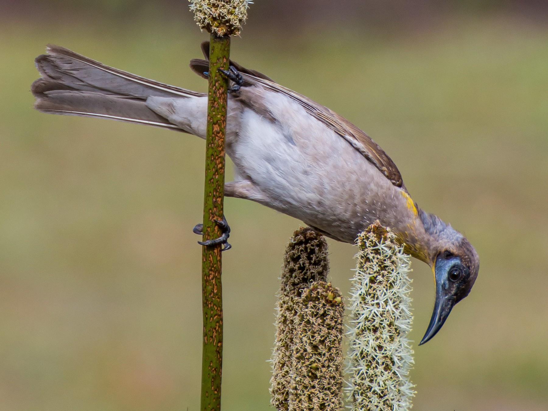 Little Friarbird - D England