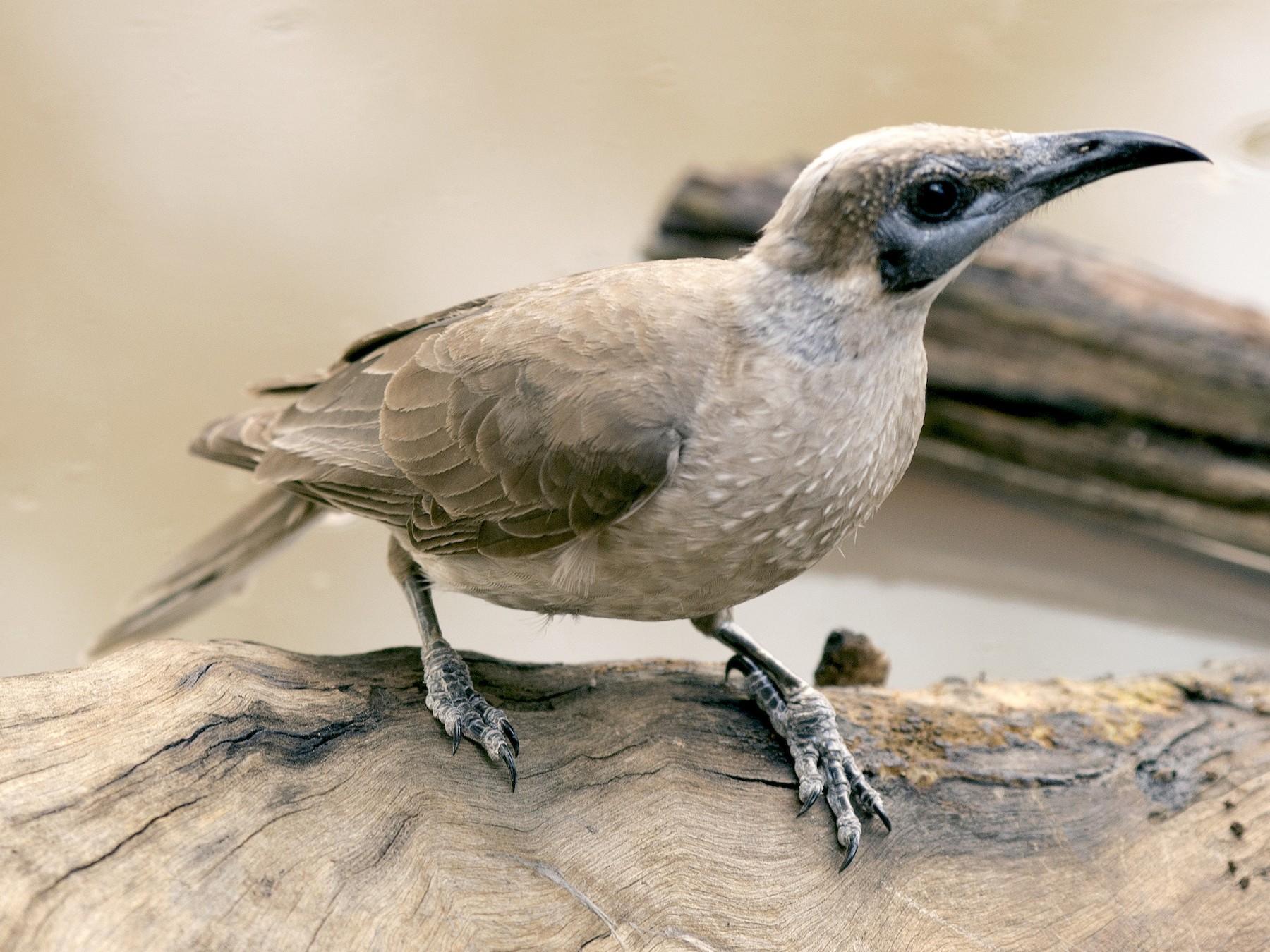 Little Friarbird - David King