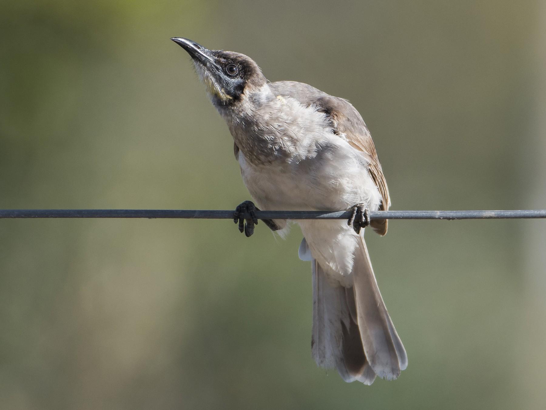 Little Friarbird - Lucas Brook