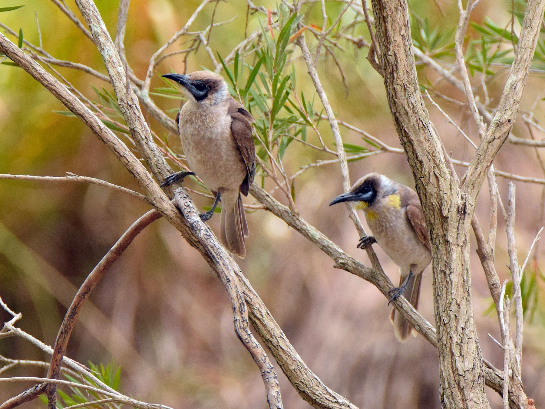 Little Friarbird - Chris Wills