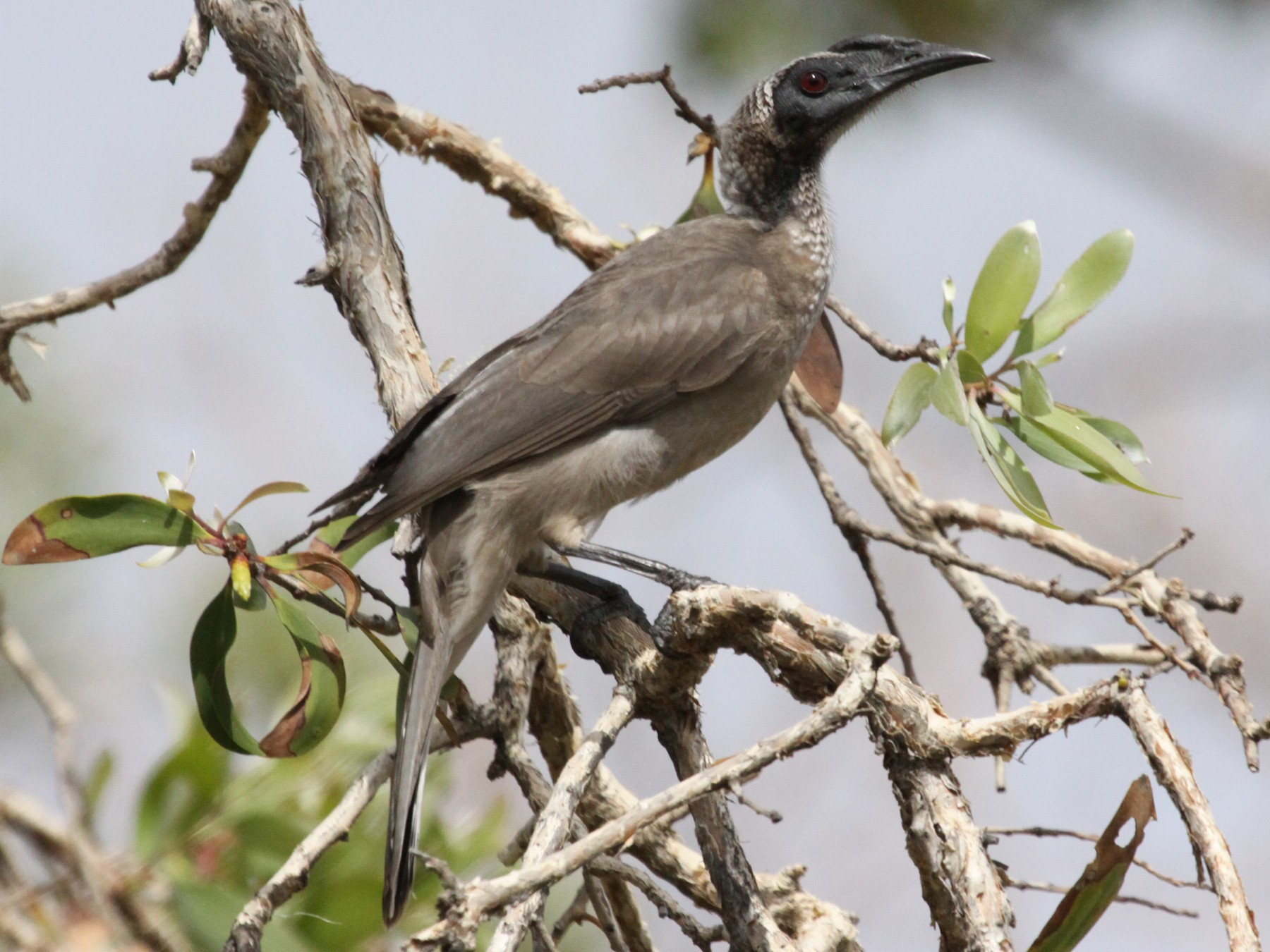 Helmeted Friarbird - Alistair and Carmen Drake