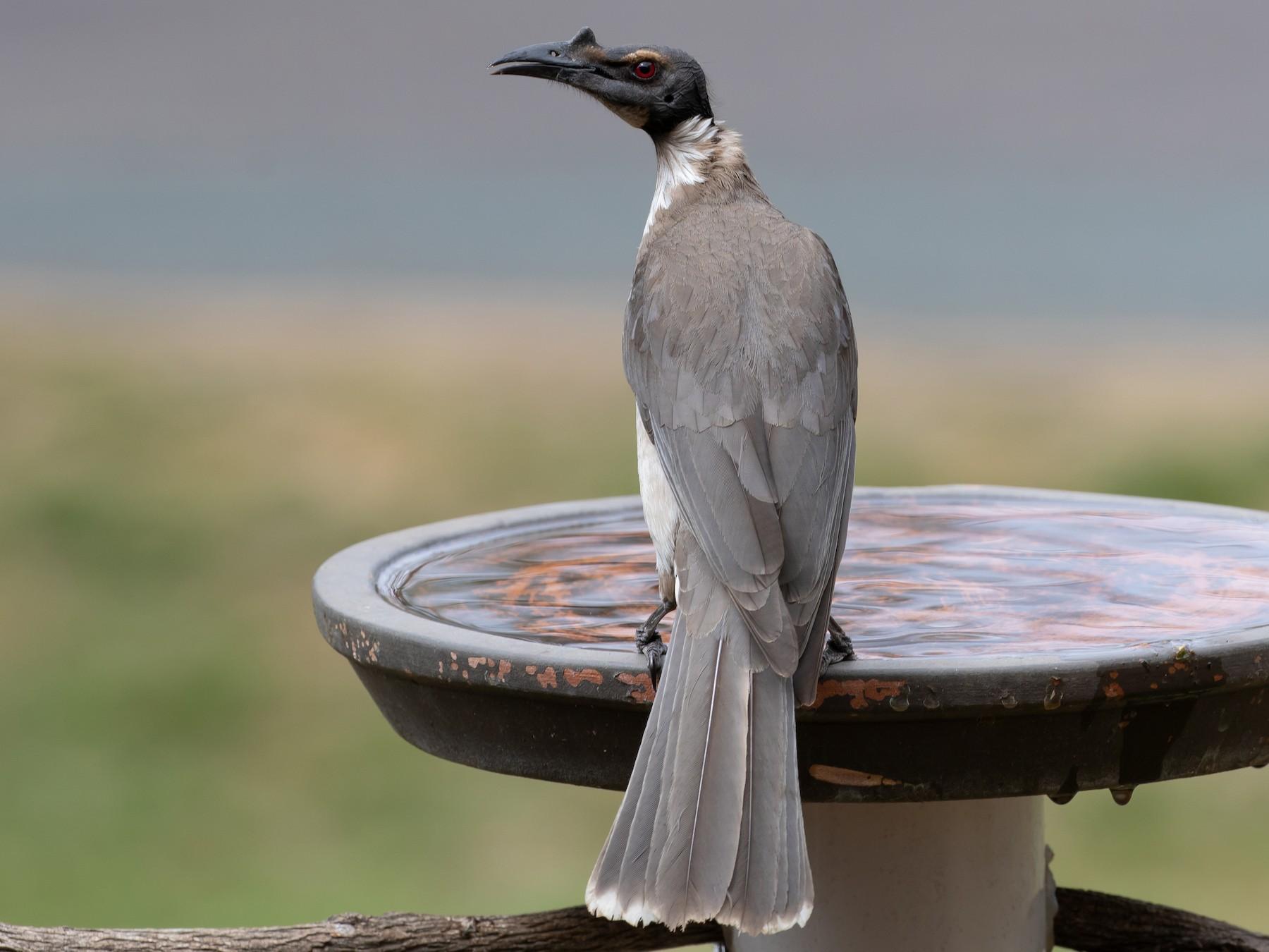 Noisy Friarbird - shorty w