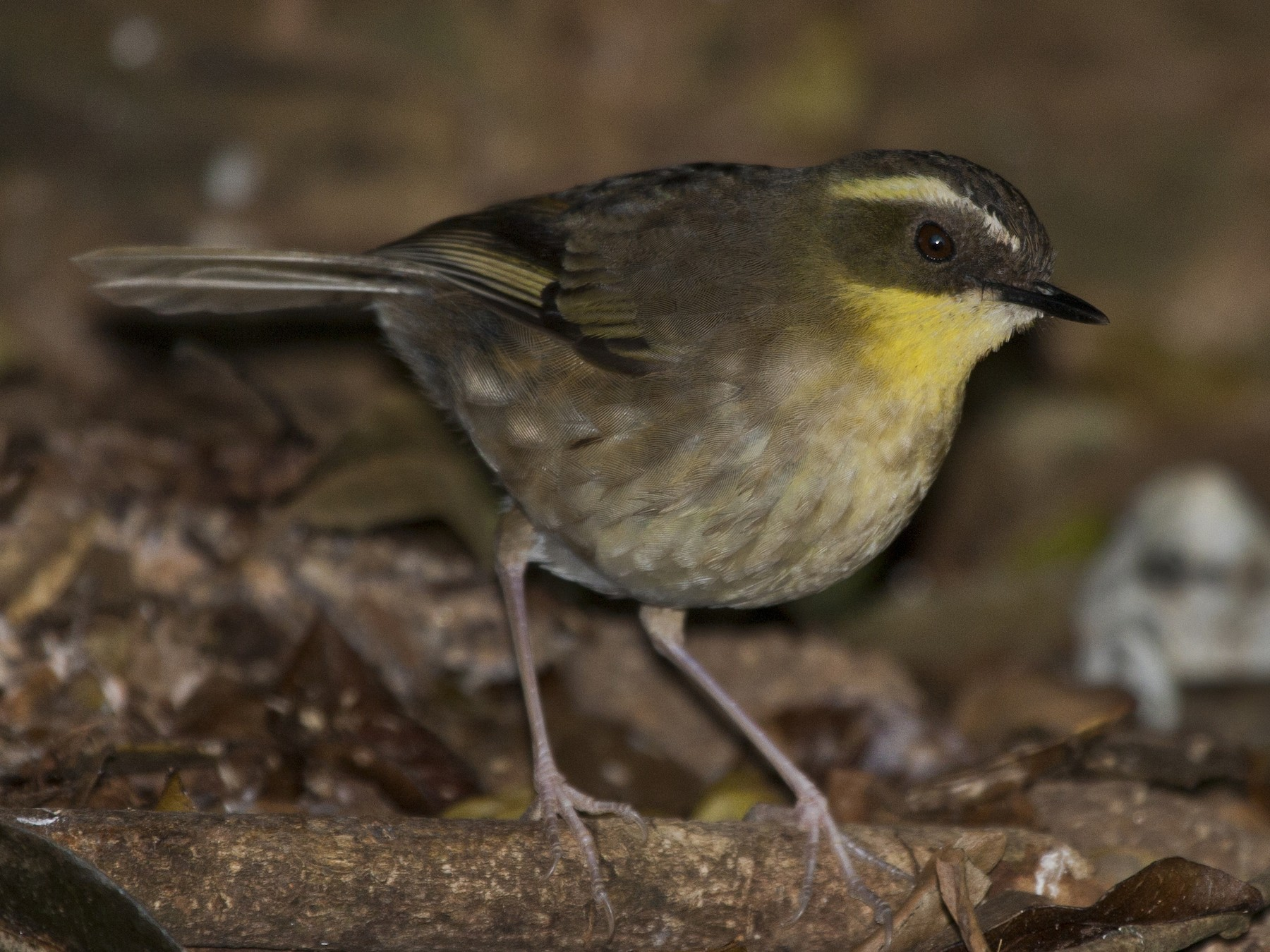 Yellow-throated Scrubwren - Mat Gilfedder