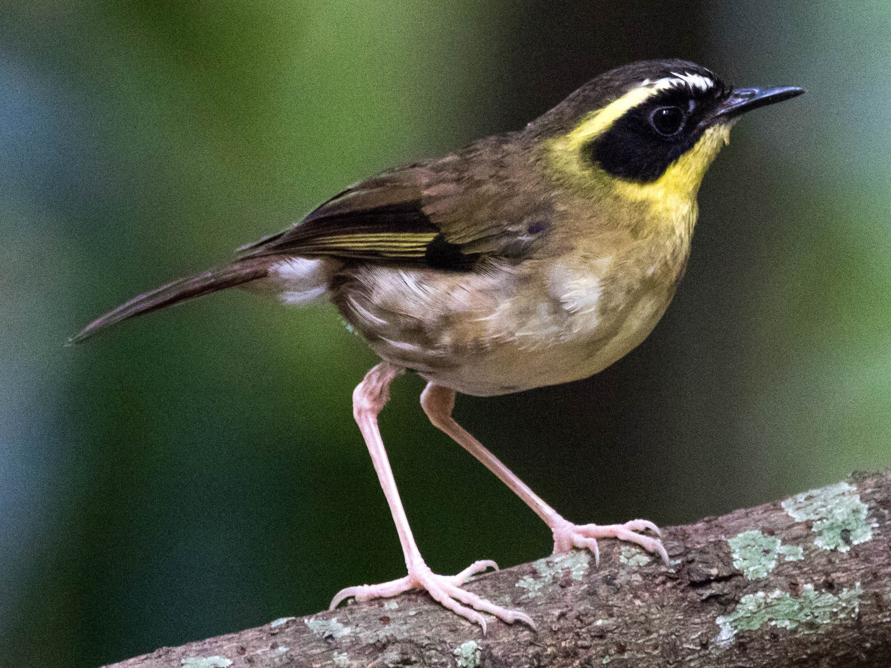 Yellow-throated Scrubwren - Steven Pratt
