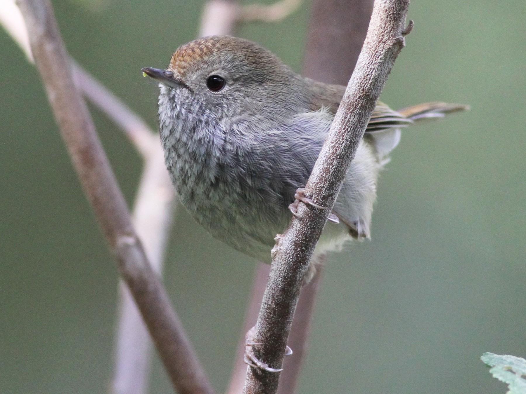 Tasmanian Thornbill - Chris Wiley