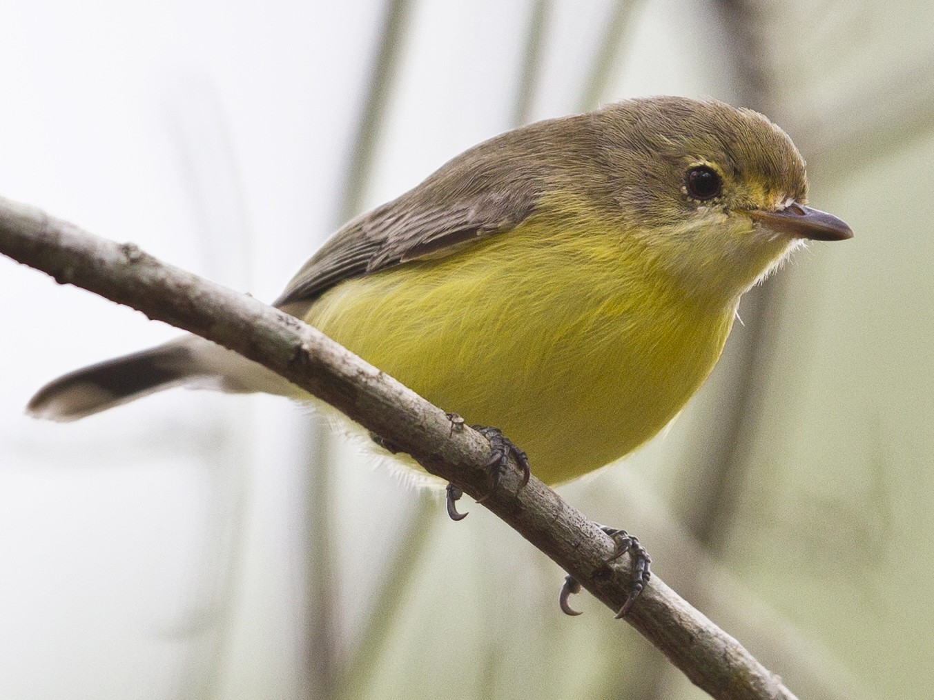 White-throated Gerygone - Mat Gilfedder