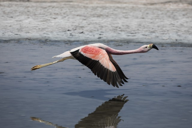 Adult Andean Flamingo in flight (dorsal view).