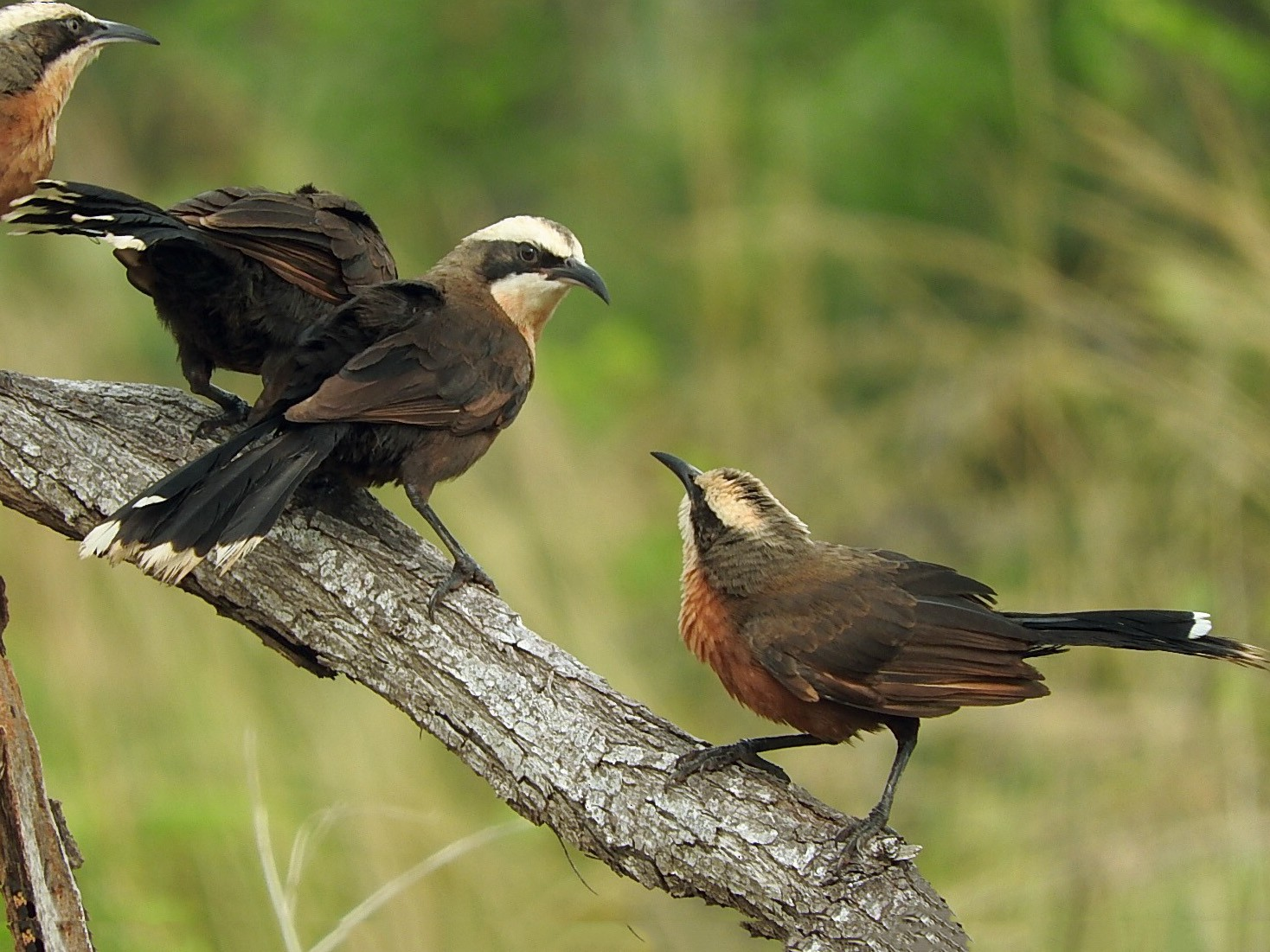 Gray-crowned Babbler - Doug Cameron