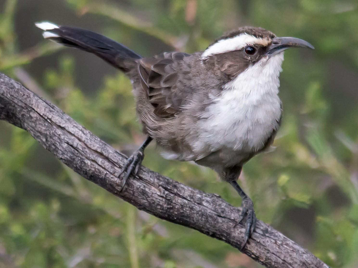 White-browed Babbler - Andrew Allen
