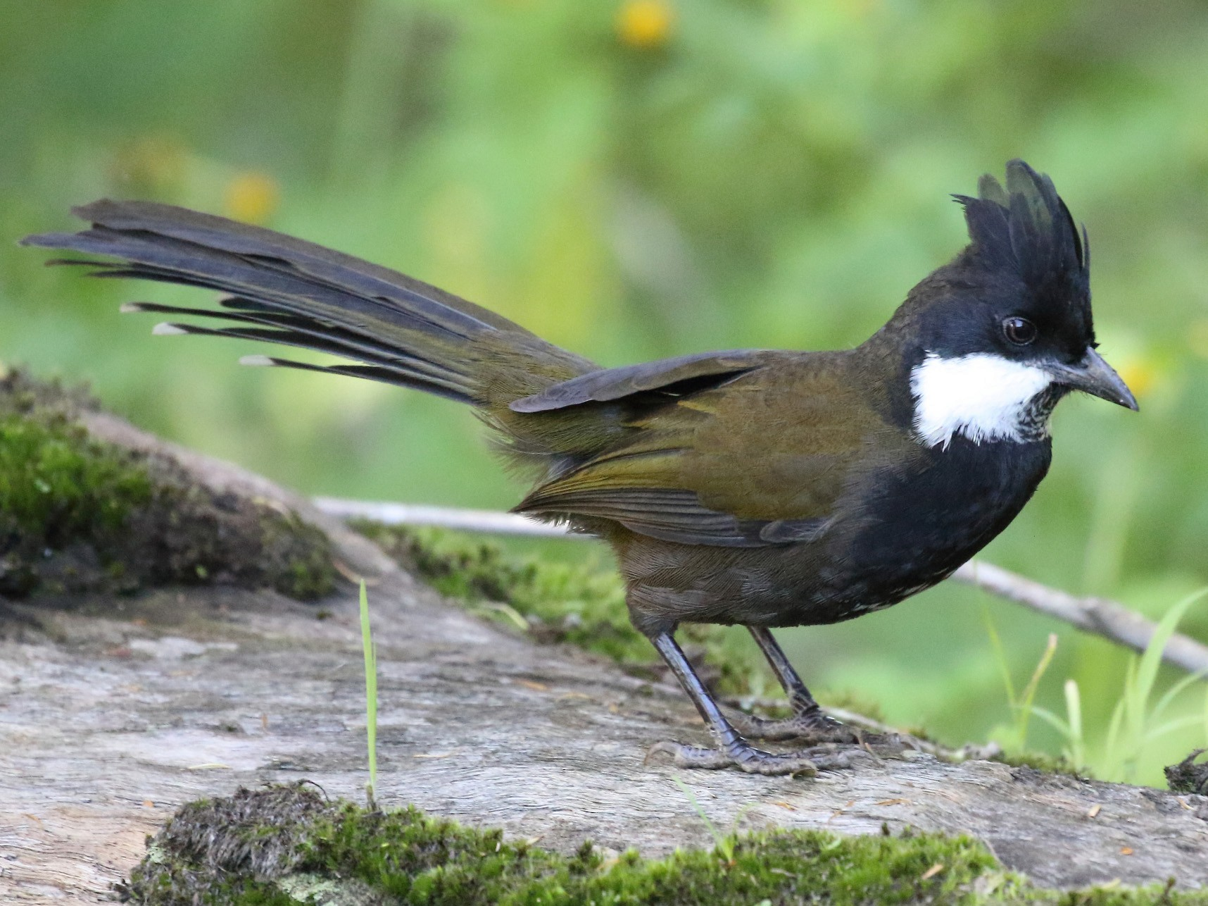 Eastern Whipbird - Michael Rutkowski