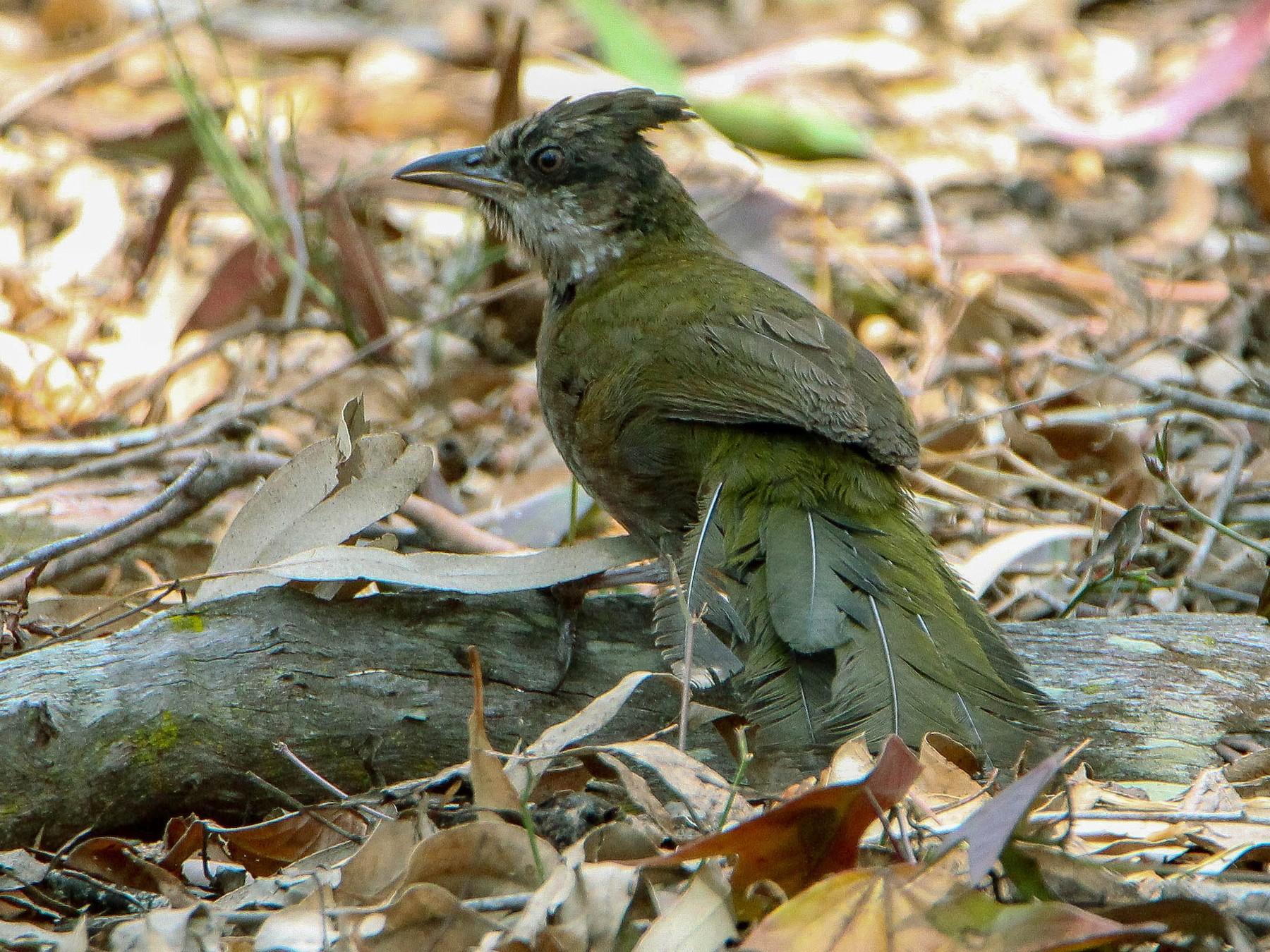 Eastern Whipbird - Sandra Gallienne