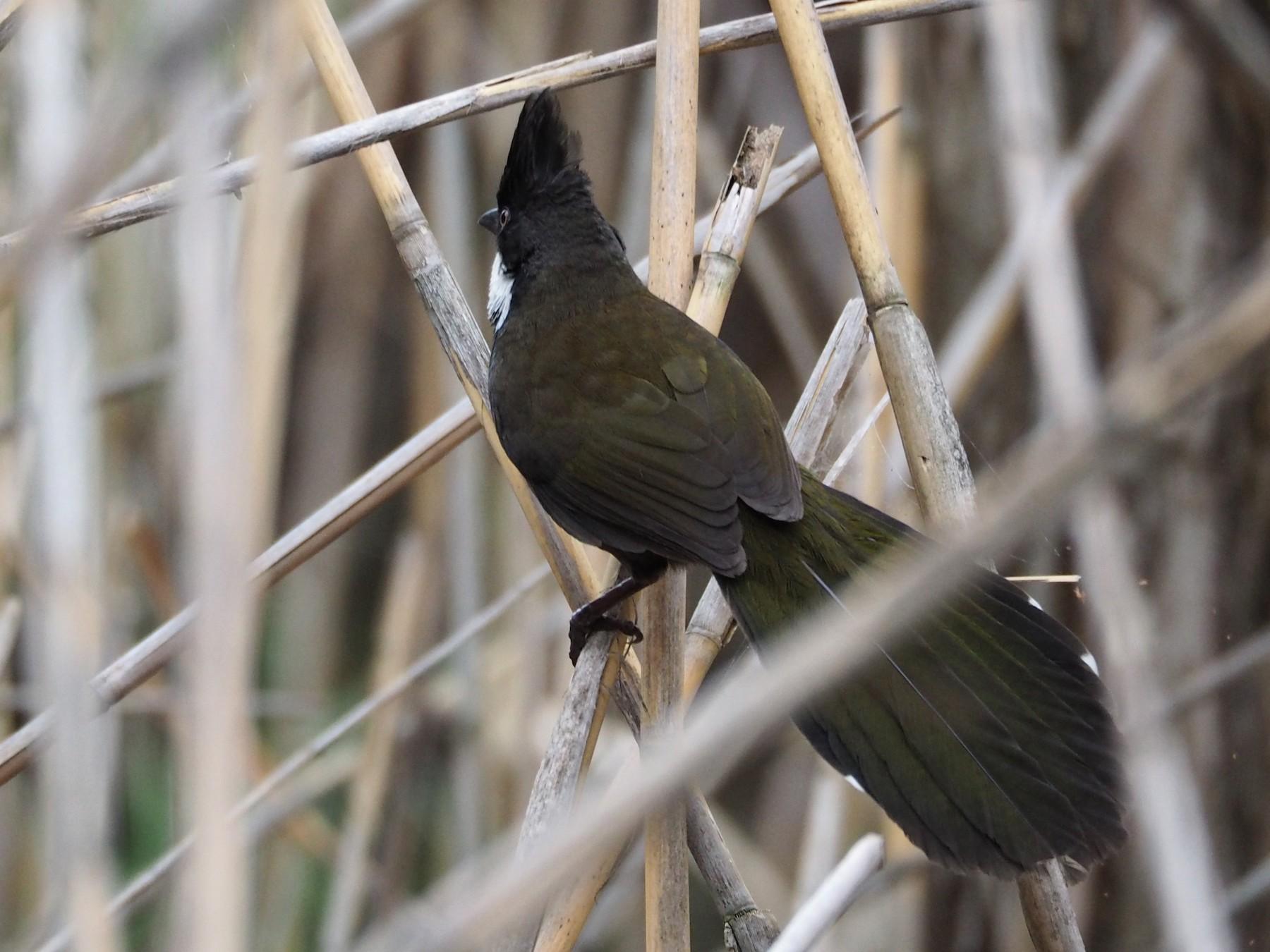 Eastern Whipbird - Deb Oliver