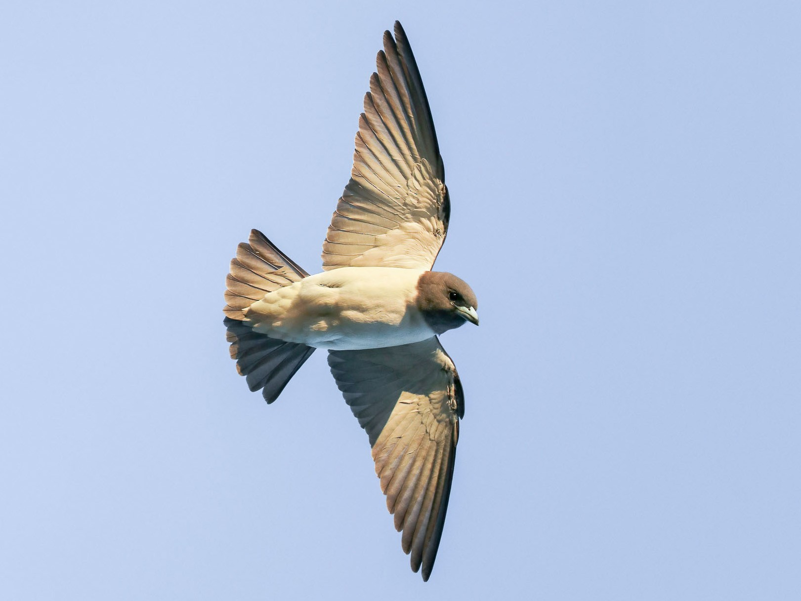White-breasted Woodswallow - Ged Tranter