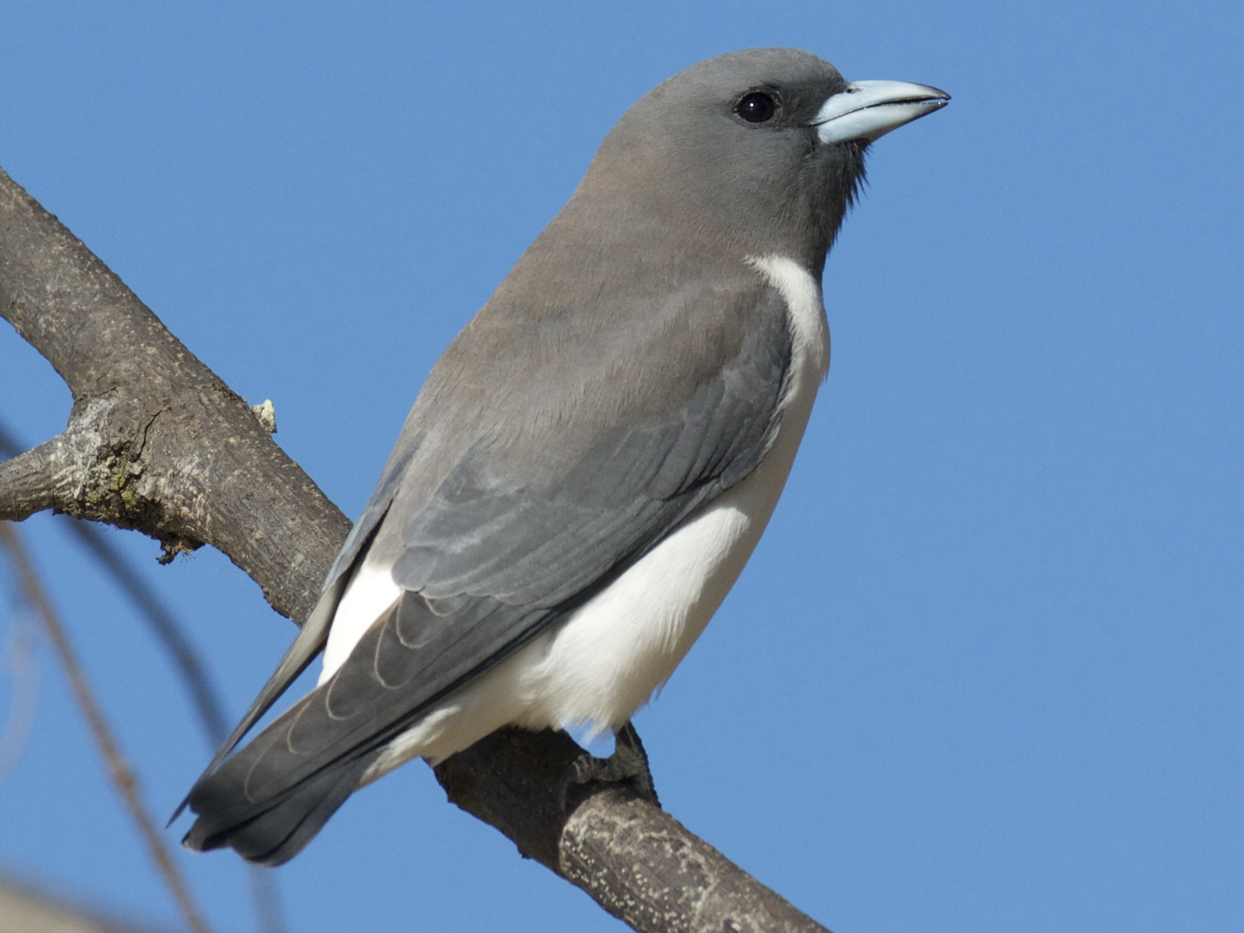 White-breasted Woodswallow - Chris Barnes