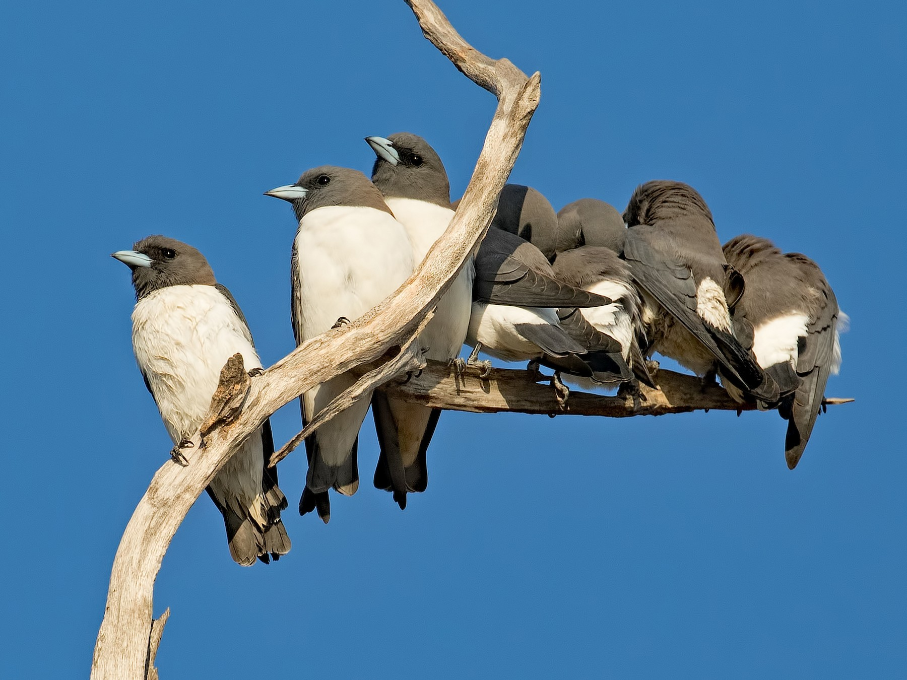 White-breasted Woodswallow - Julie Clark