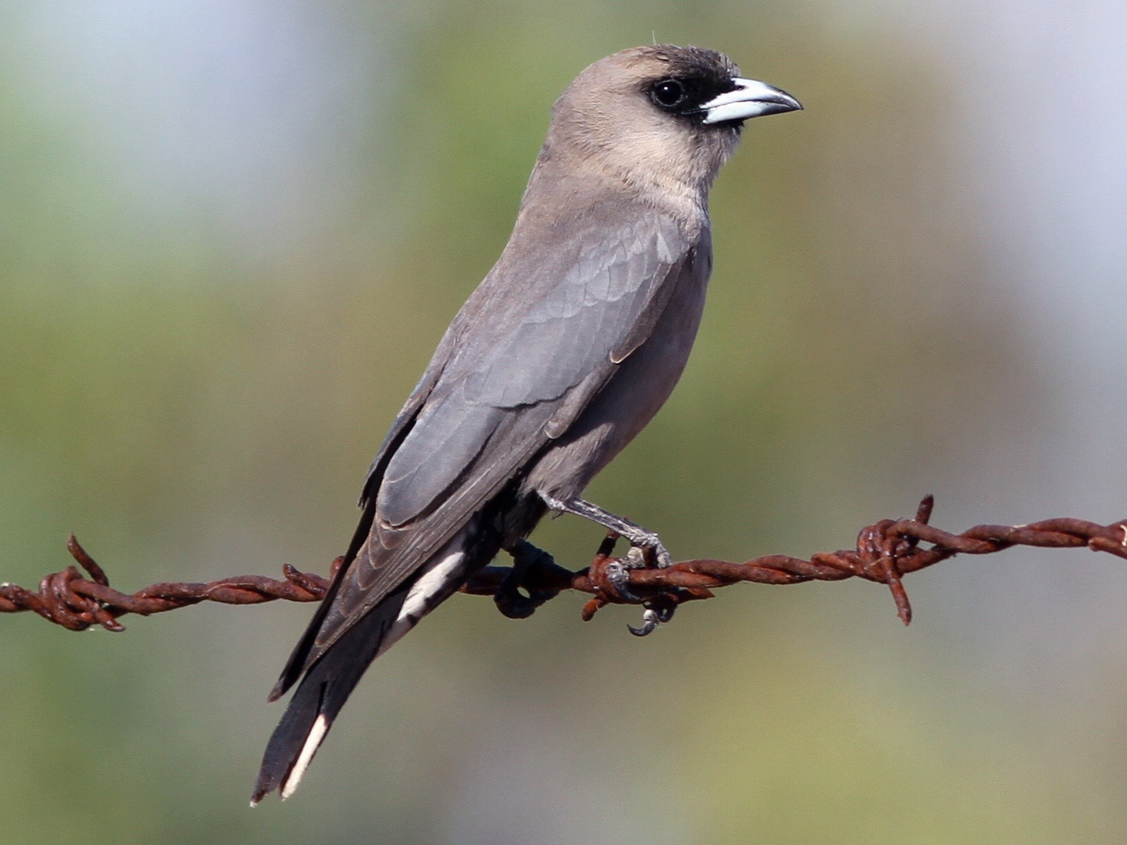 Black-faced Woodswallow - Chris Wiley