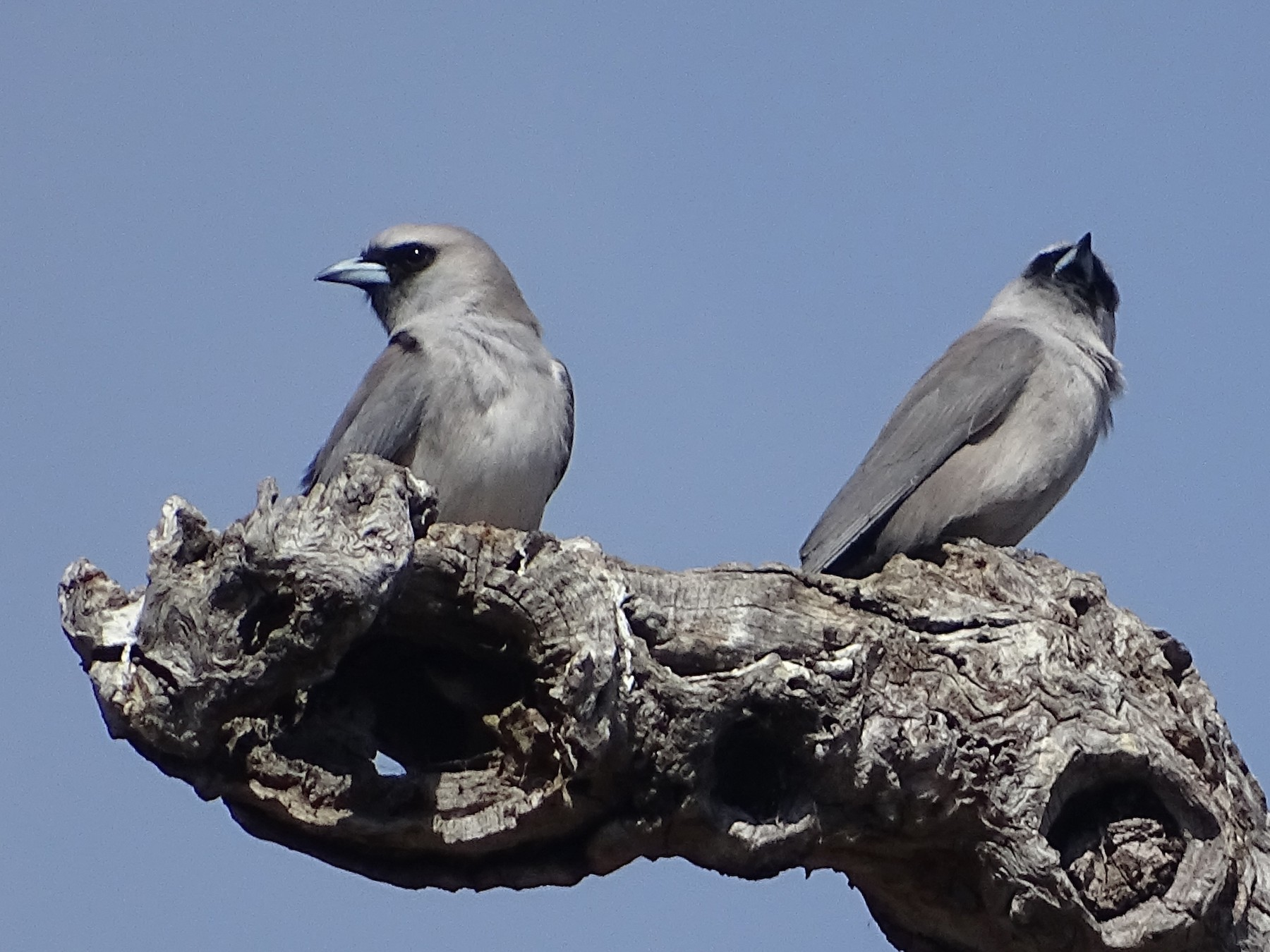 Black-faced Woodswallow - Richard Murray