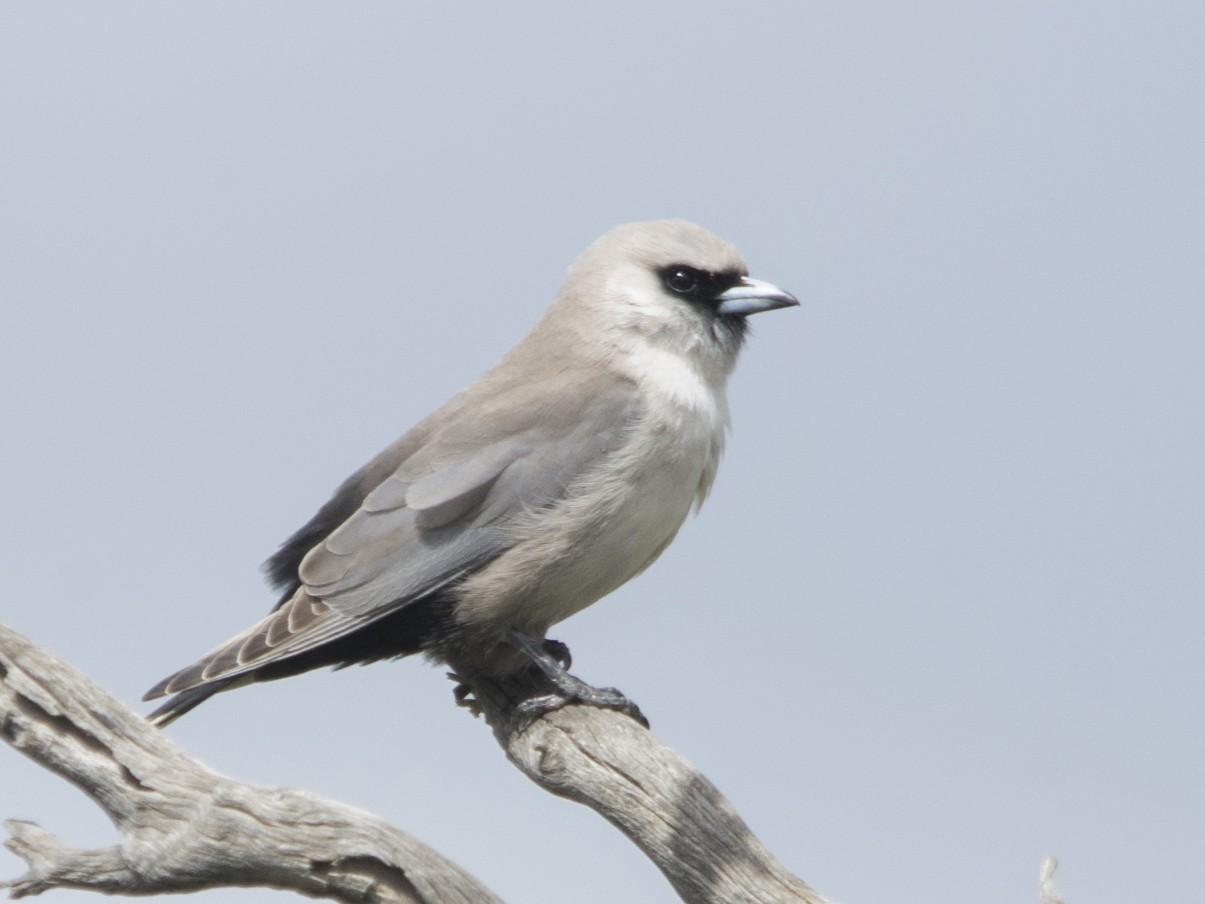 Black-faced Woodswallow - Owen Lishmund
